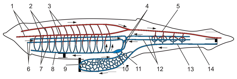 Lancelet circulatory system (JS 15)