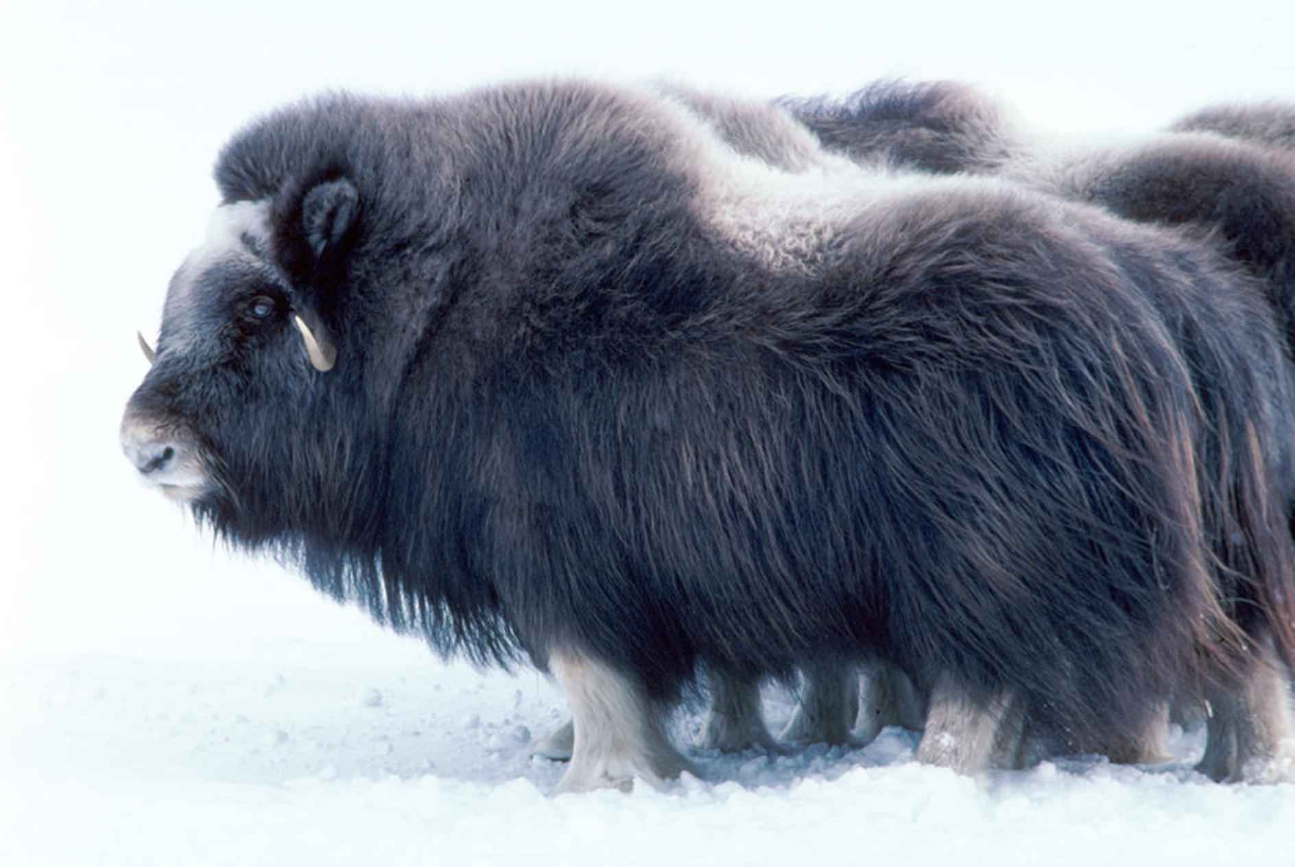 B.A. BA technique ancestrale: le tricot Large_mammal_musk_ox