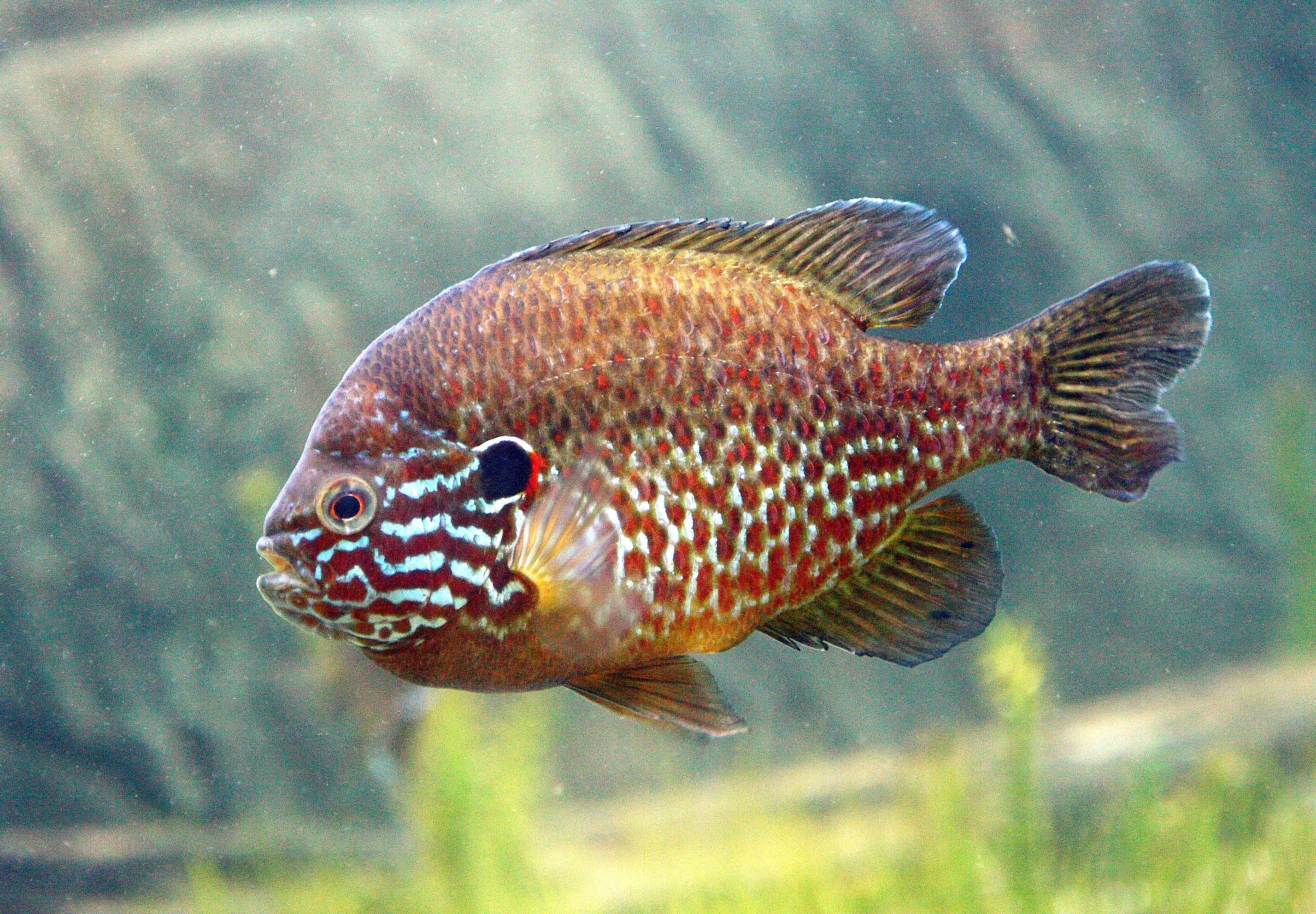 die unterscheidung geschlecht von fischen