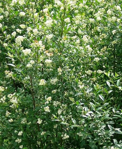 troene commun arbre fleurs blanches