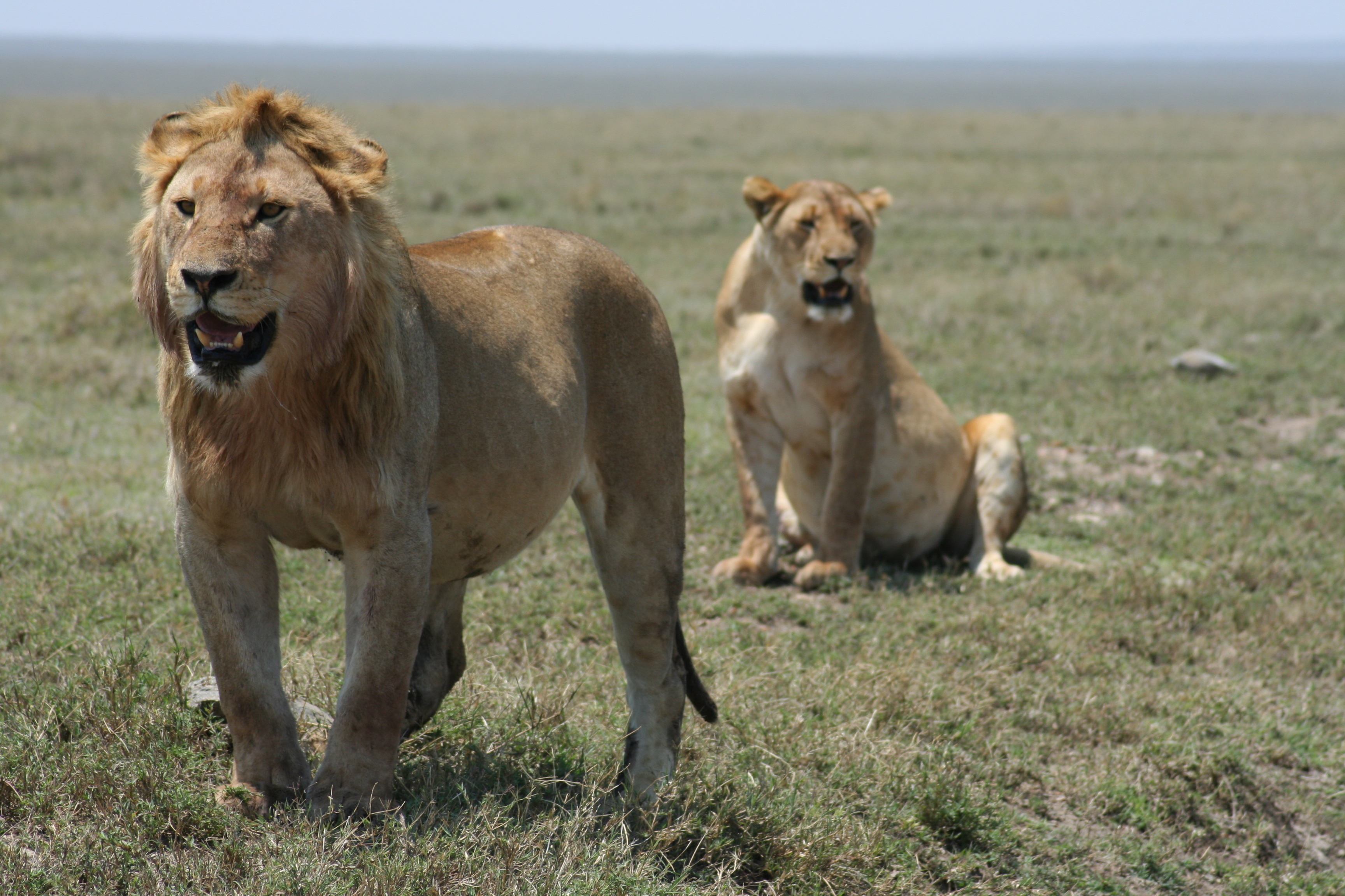Pictures Of Serengeti Cats