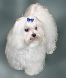Dog Breeds Maltese Bichon Mix