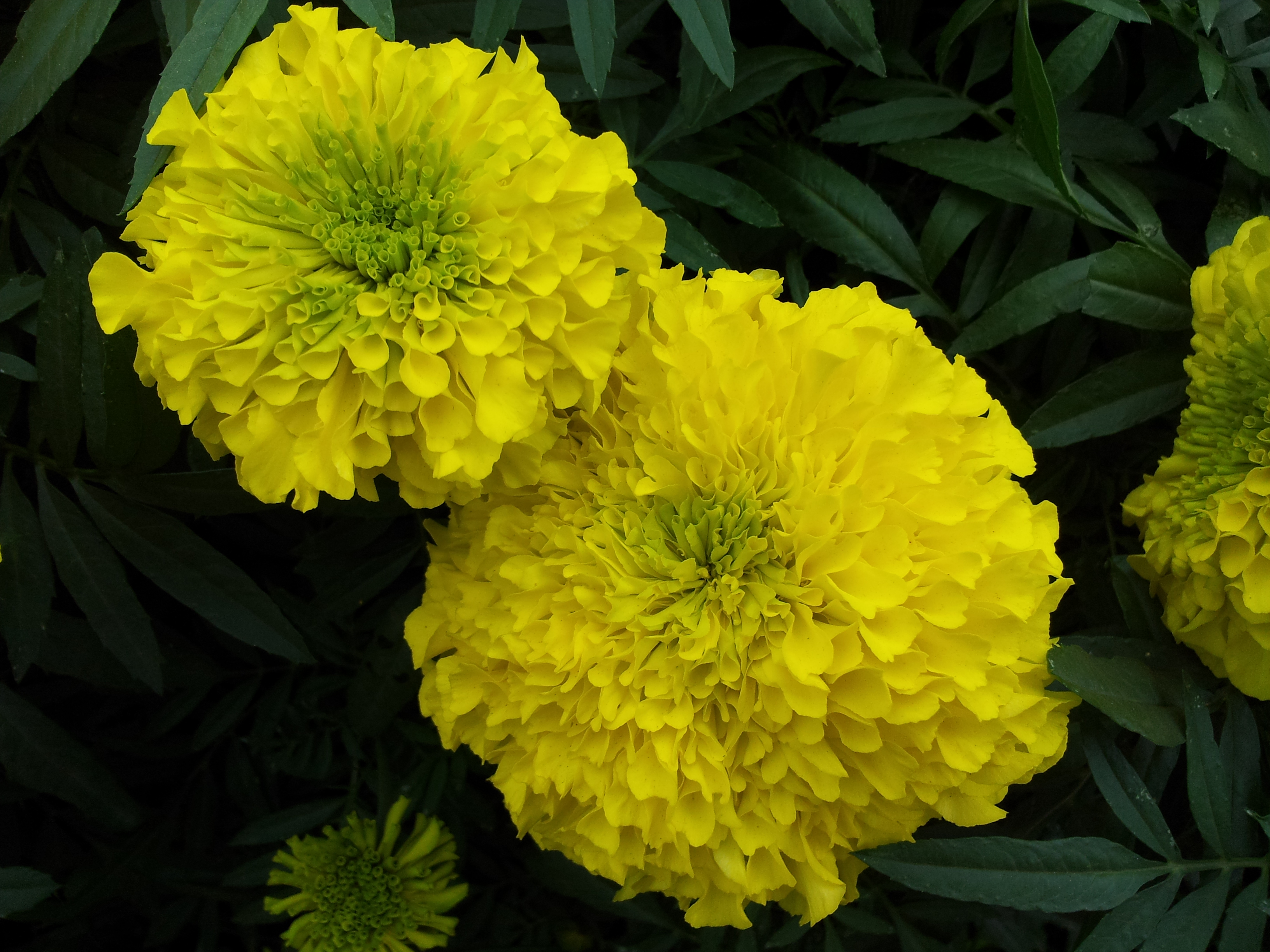 File Marigold at Lalbagh Flower show August 2012 Wikimedia mons