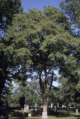 List of Plants Mature_Ulmus_rubra_in_graveyard