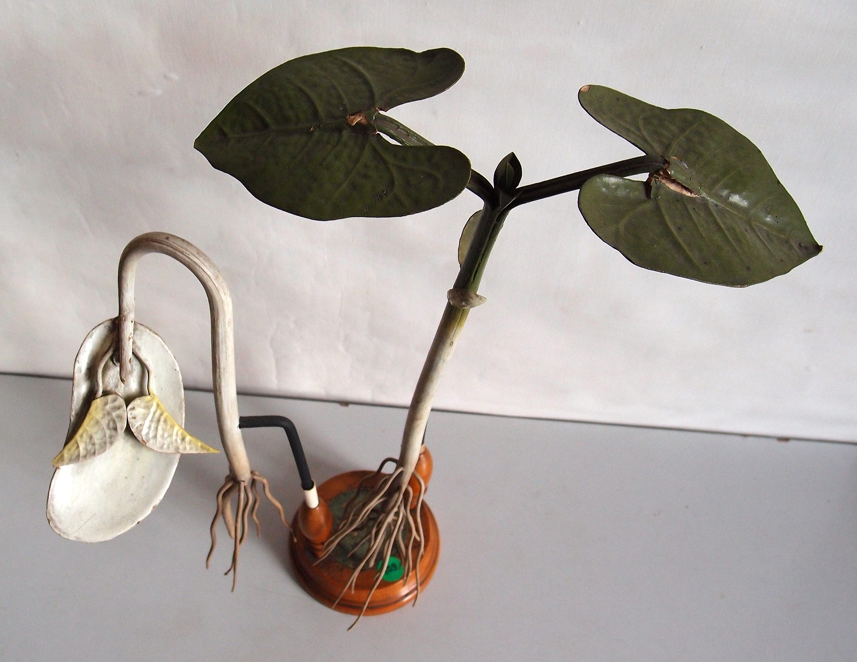 modell der keimung von dicotyledonen botanisches museum greifswald - Einkeimblattrige Pflanzen Beispiele