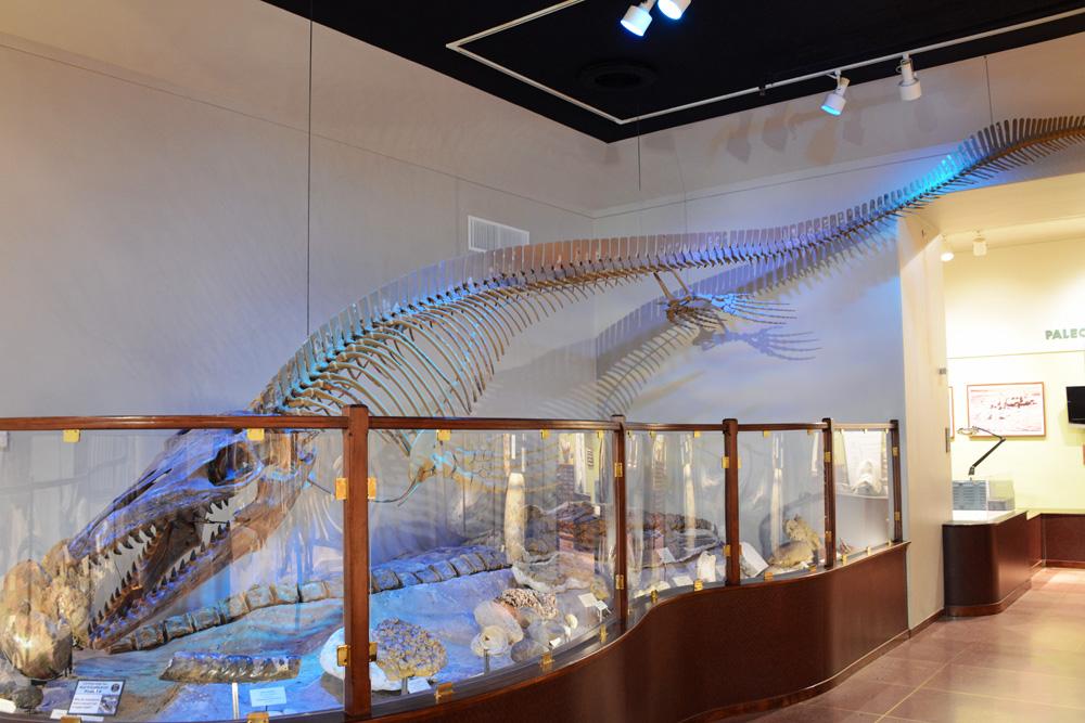 Squelette Mosasaurus maximus