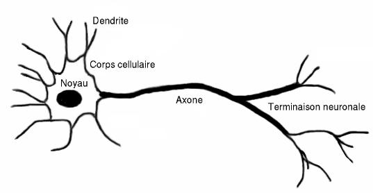 Tecido Nervoso Wikipédia A Enciclopédia Livre