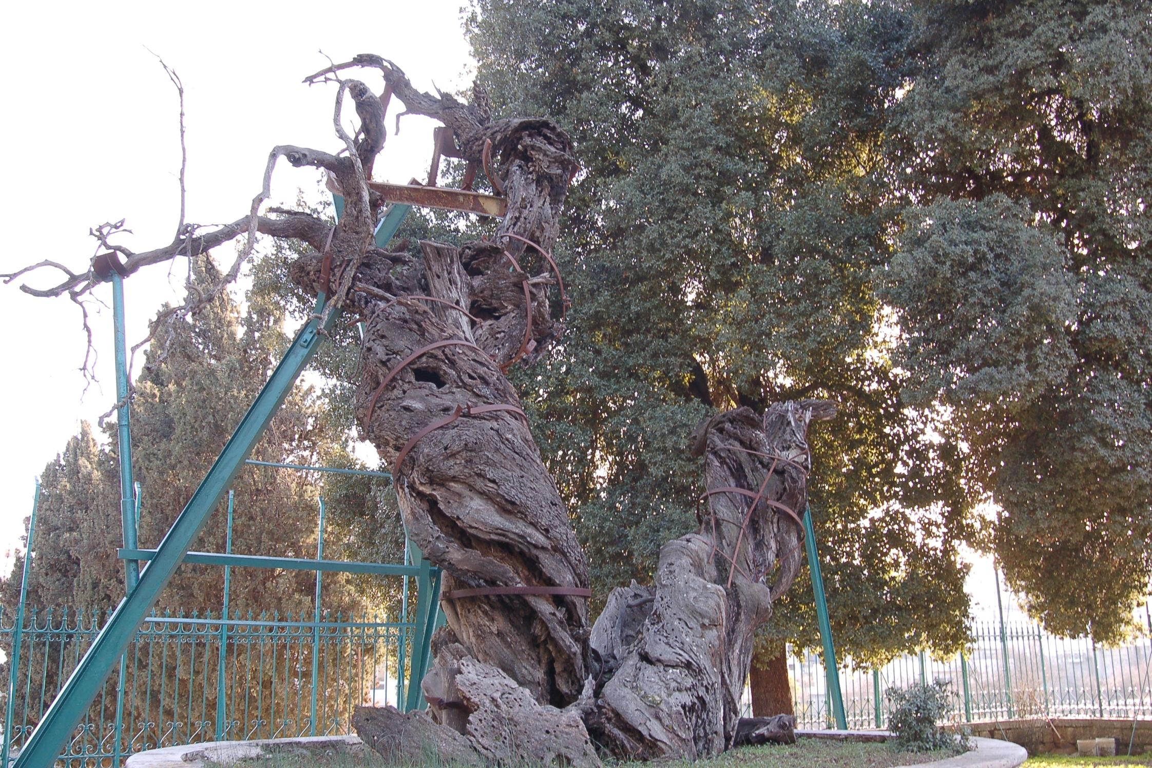 Oak of Mamre 1.jpg