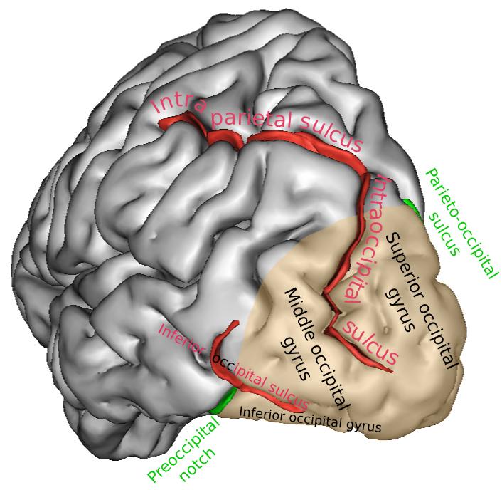 occipital_lobe [Operative Neurosurgery]