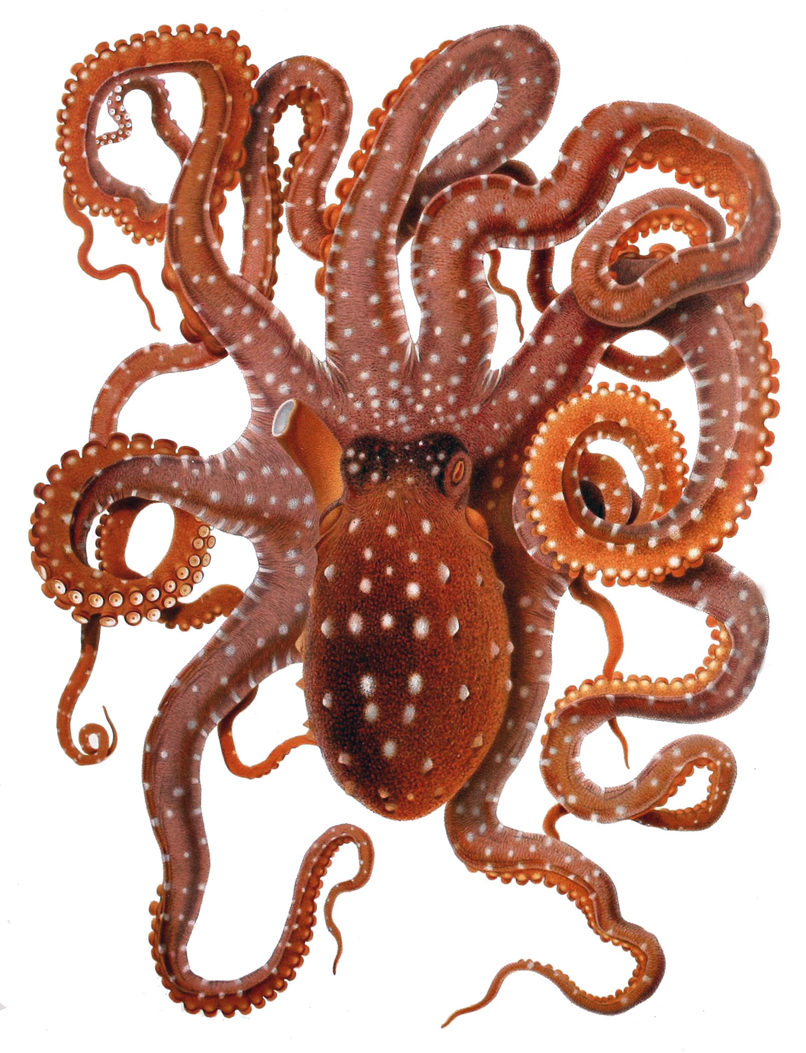 Octopus Macropus Merculianojpg