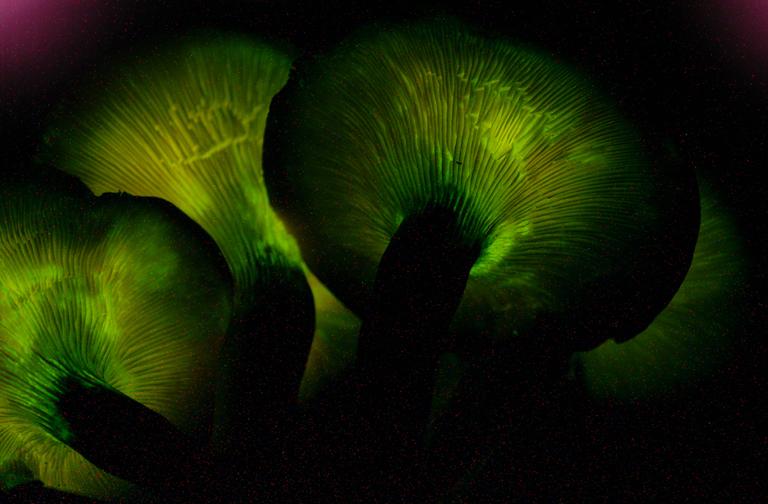 Foxfire: Bioluminescent Fungi Omphalotus_olearius_33857