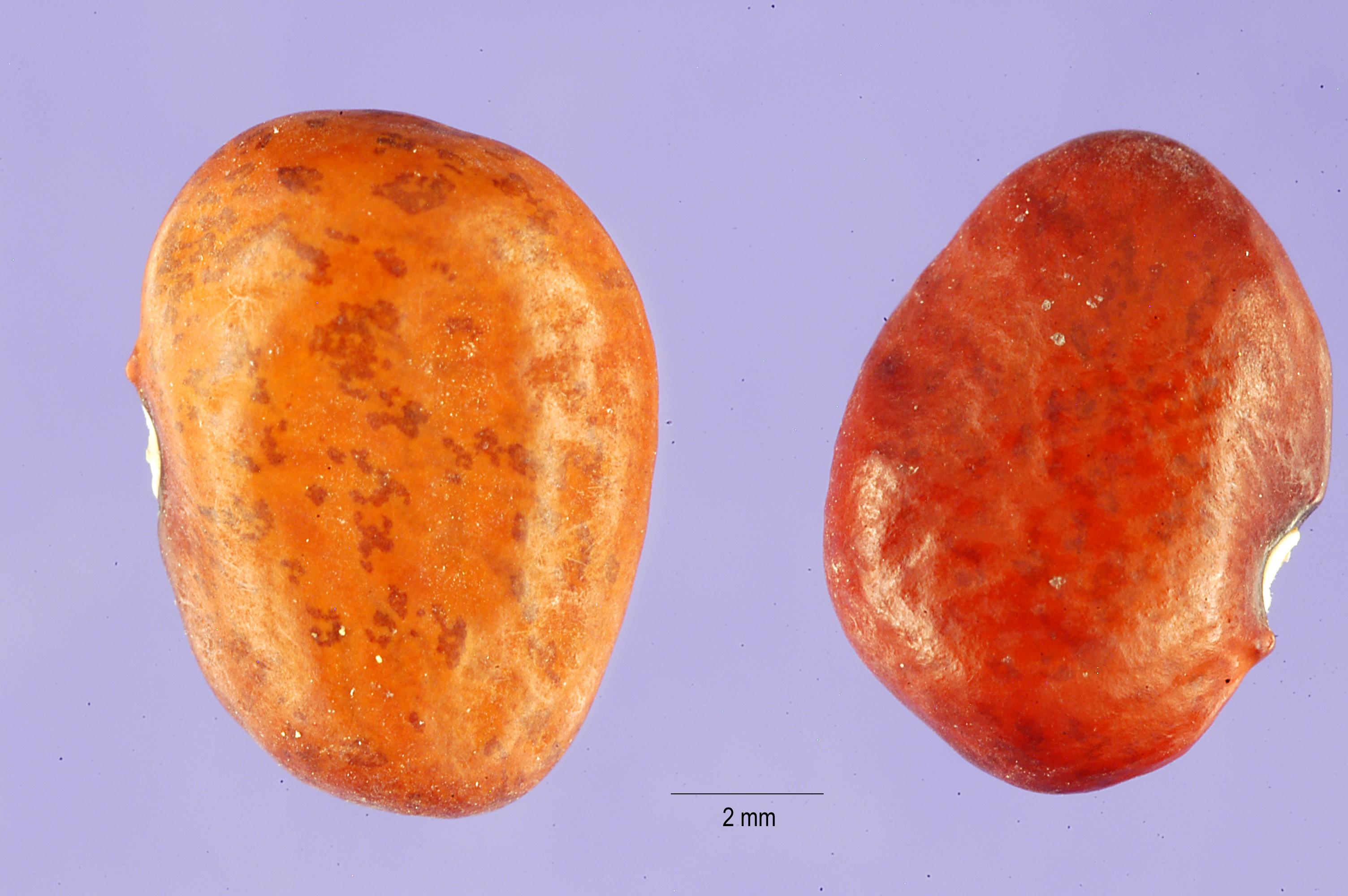Phaseolus acutifolius - Wikipedia
