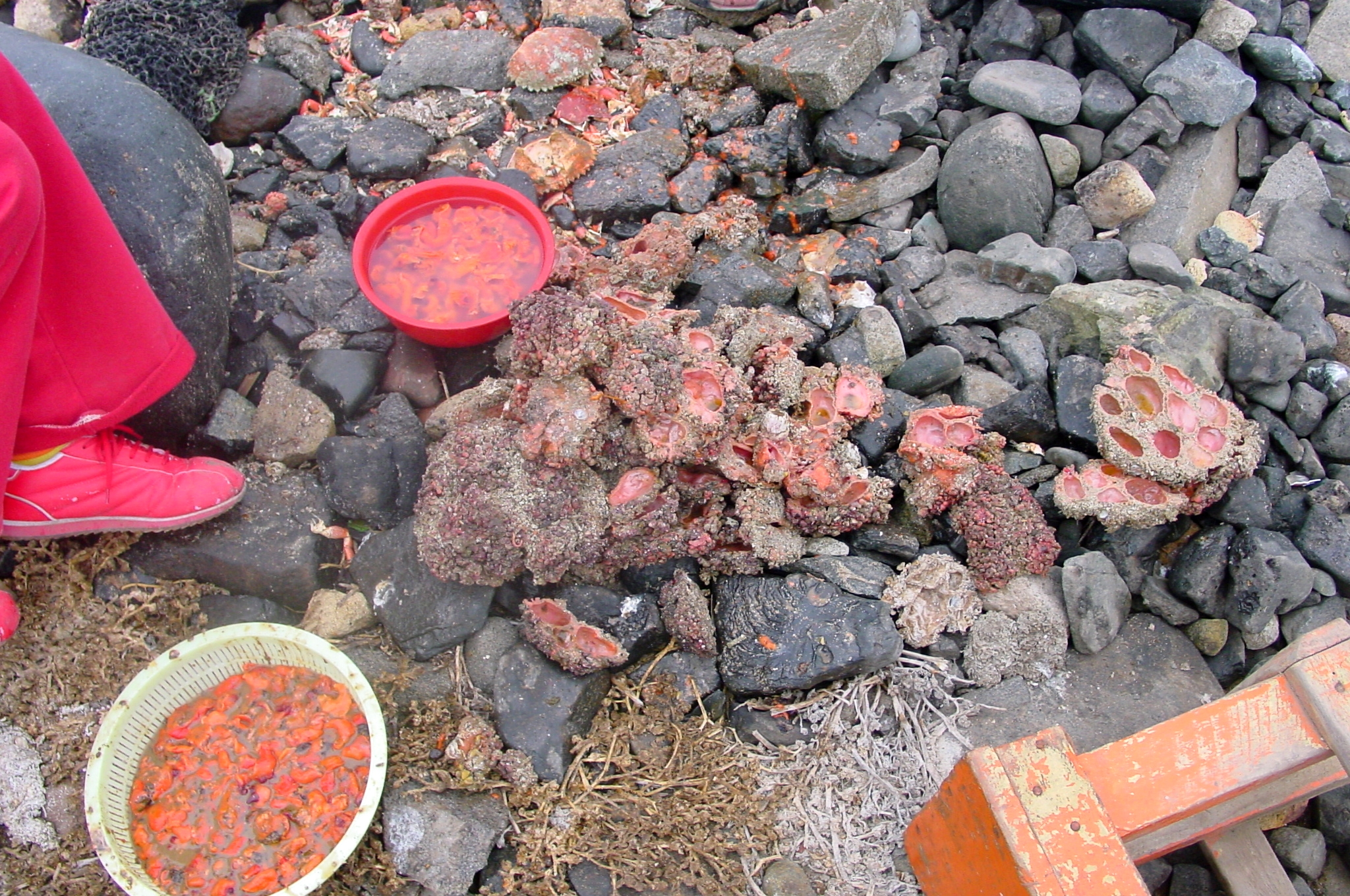 pyura chilensis babies wwwimgkidcom the image kid