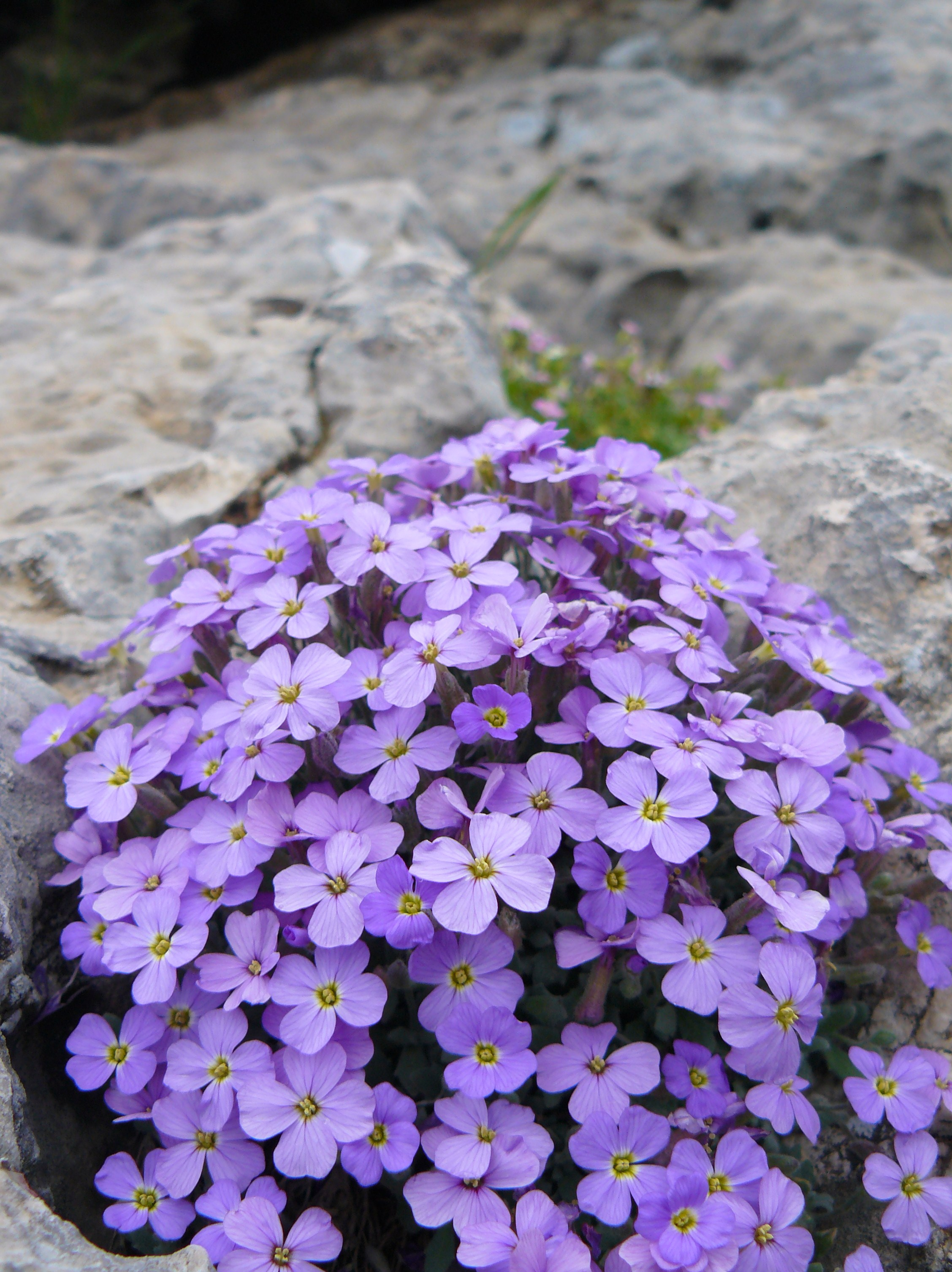 Aubrieta deltoidea (commonly known as purple rock cress) is a perennial wild flower that is used in gardening for its ornamental large inflorescence.