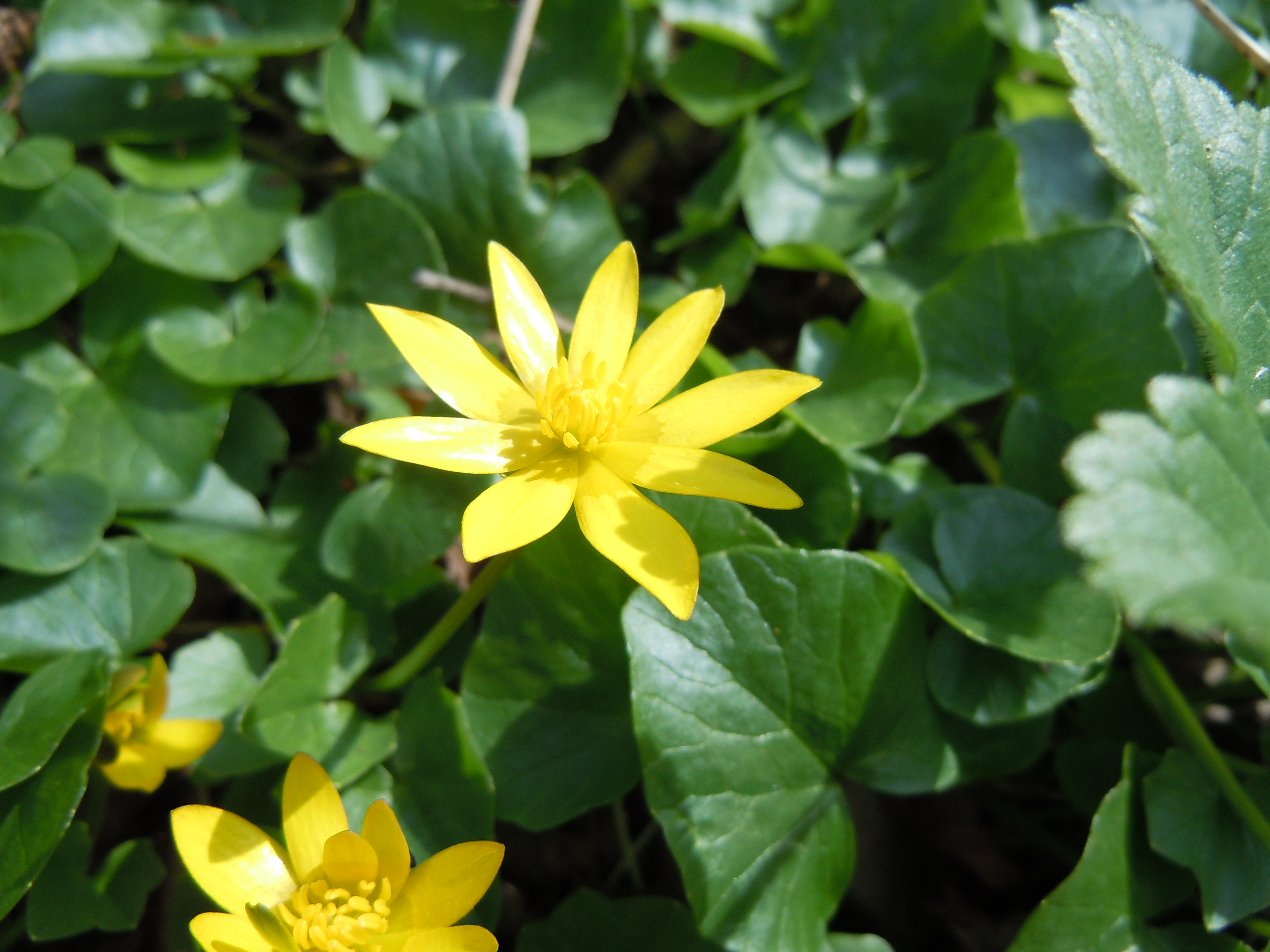 Fileromanian Flora Wild Yellow Flower 00g Wikimedia Commons