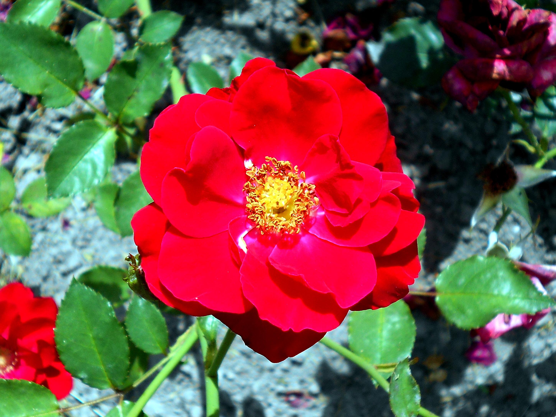 Faire Un Rosier Avec Une Rose alain (rose) — wikipédia