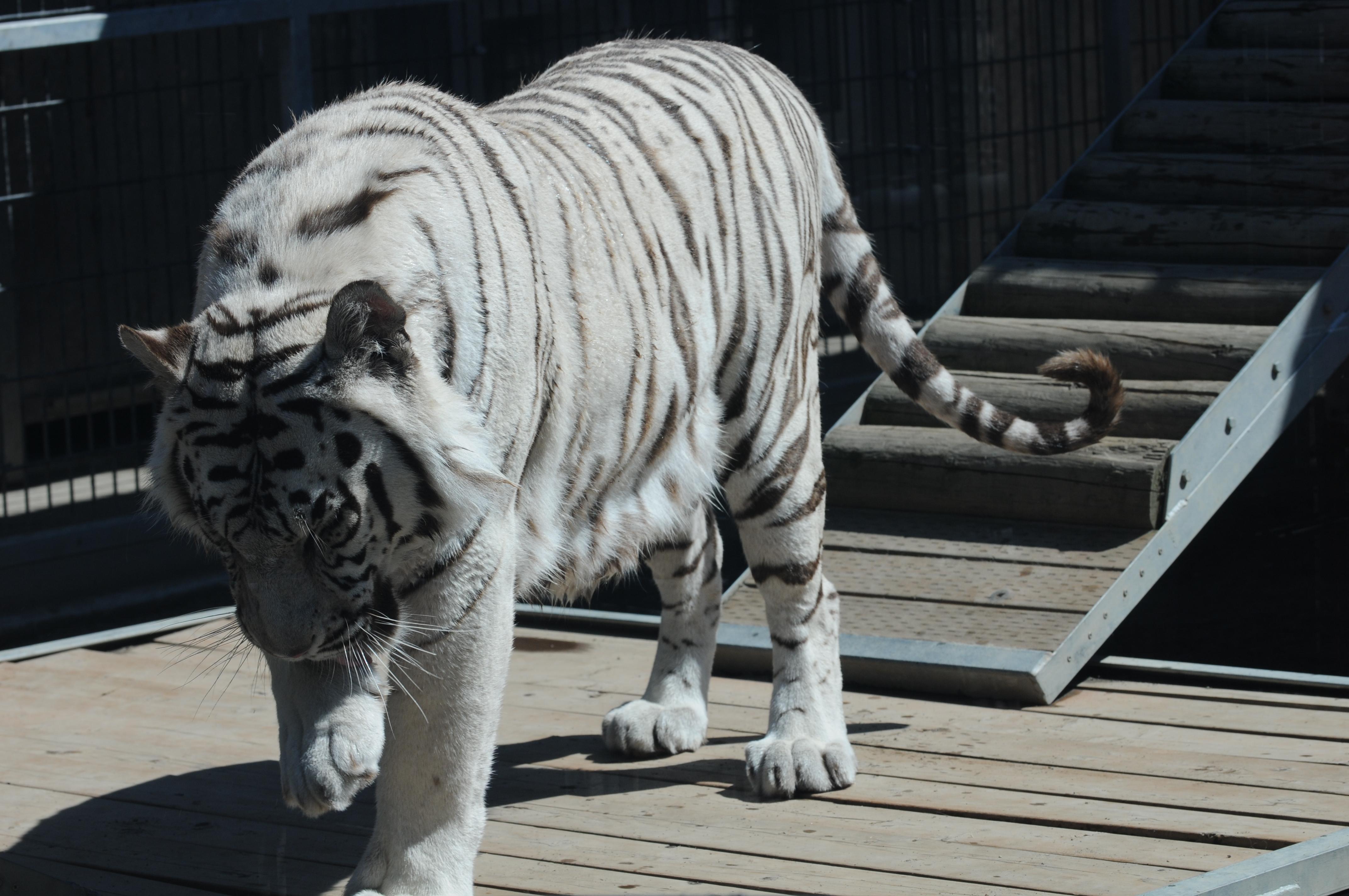 ramp at Cougar Mountain Zoological Park.jpg English: A Royal White Bengal Tiger walking, having just descended a ramp in its habitat, at Cougar Mountain