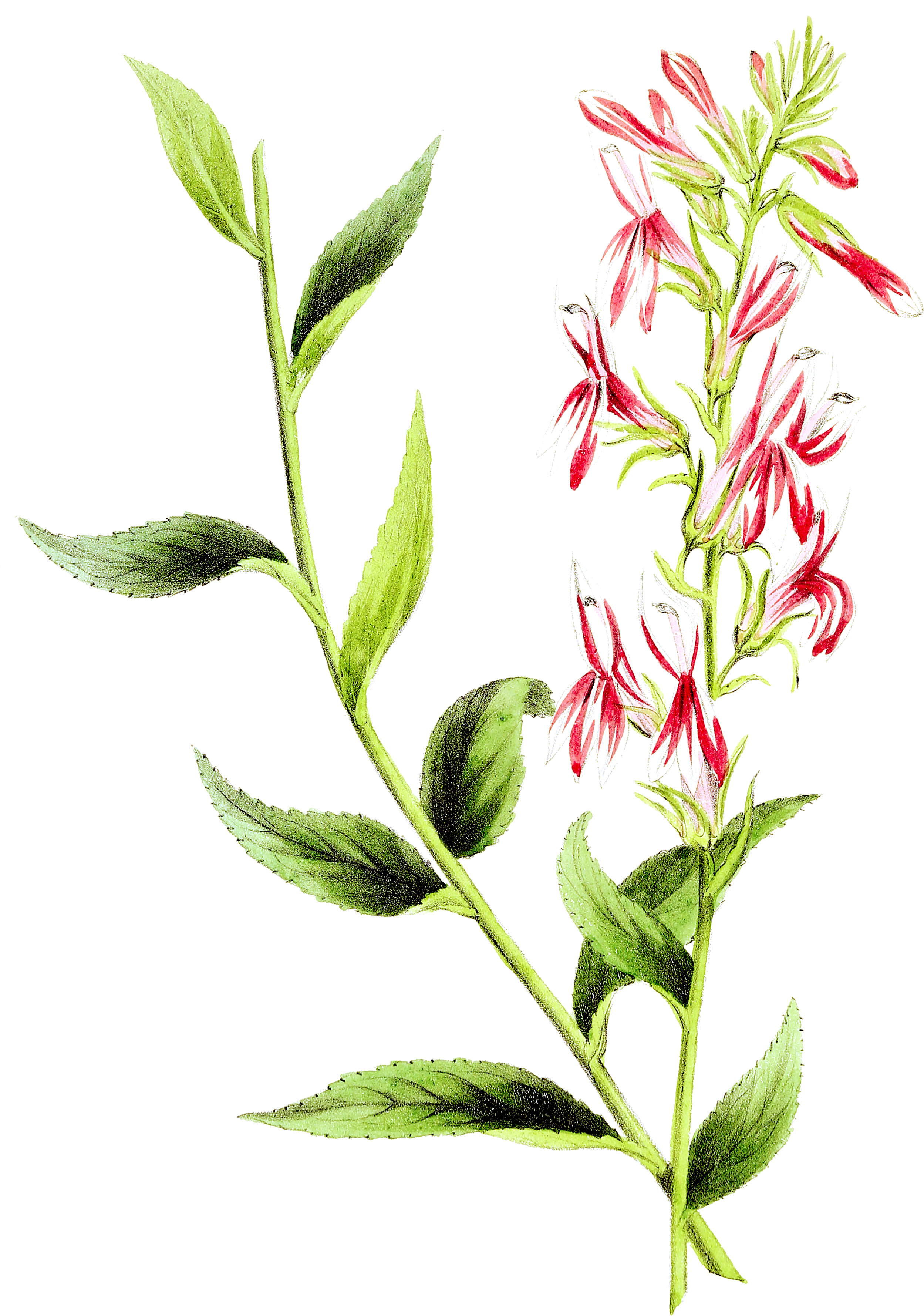 File:Rural Hours   Cardinal Flower