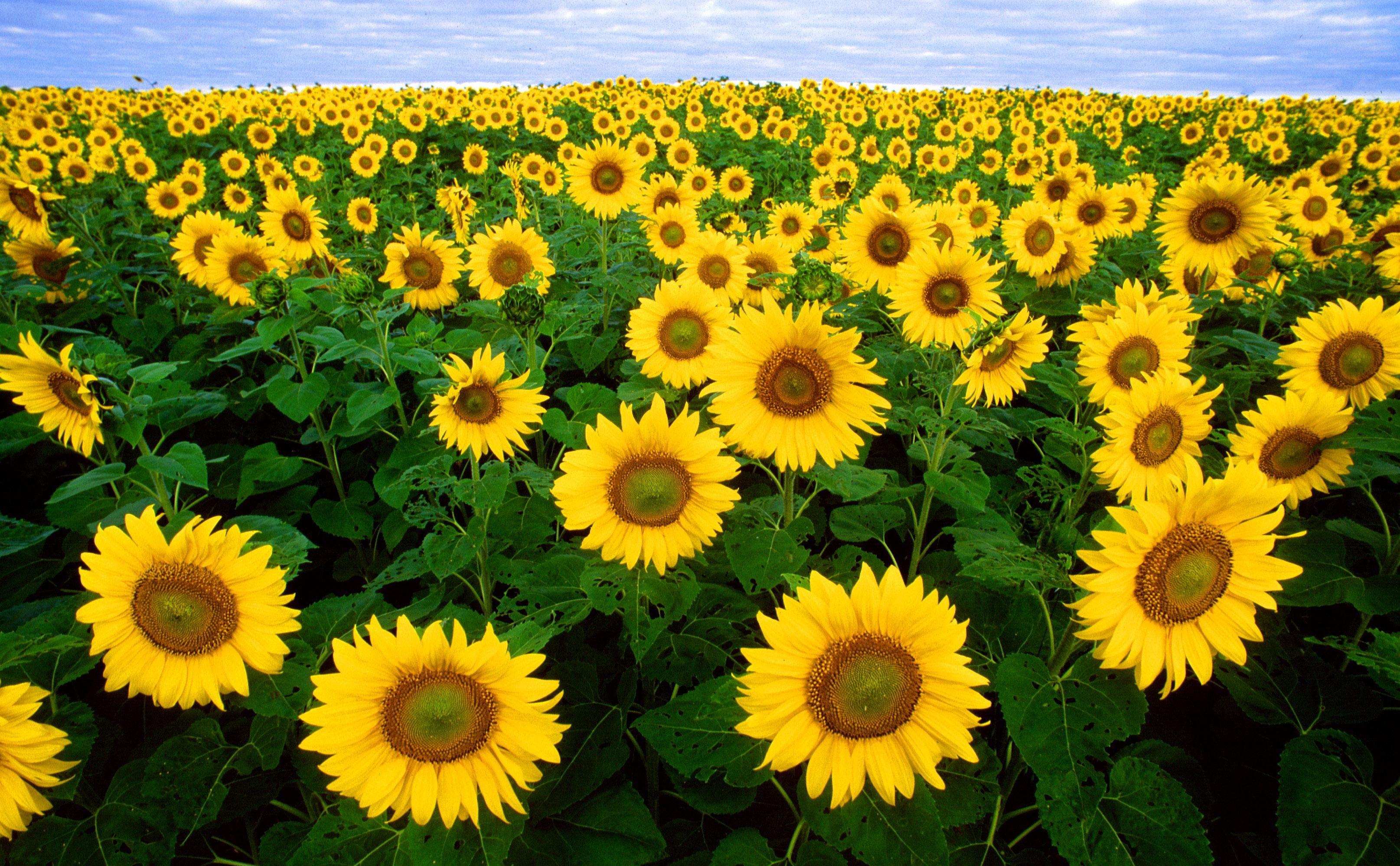 File:Sunflowers helianthus annuus.jpg - Wikimedia Commons