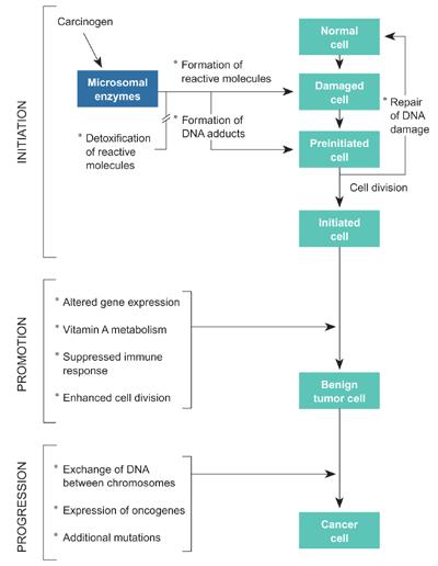 Three stages of carcinogenesis.png