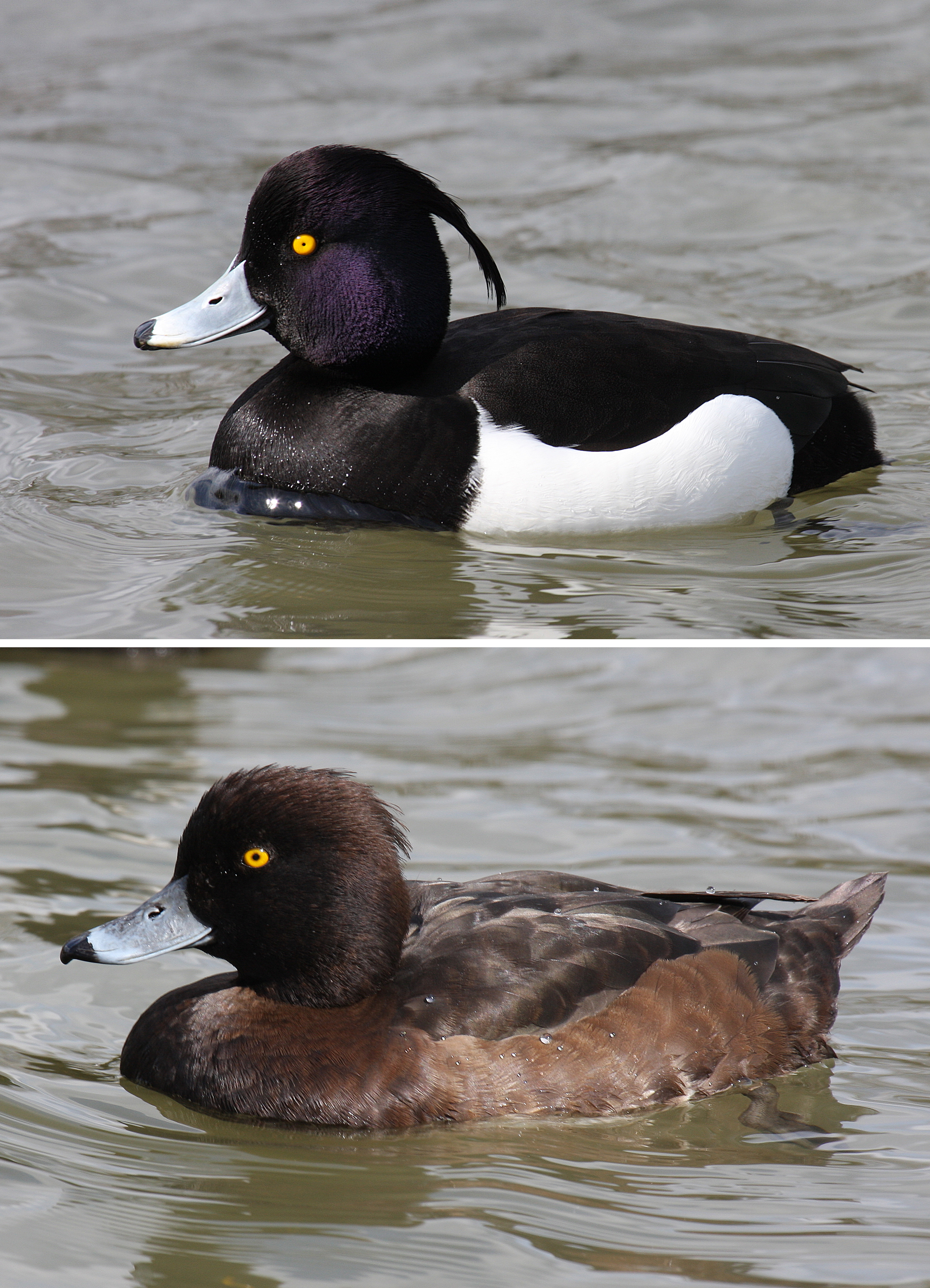 Hunting Tufted Duck in iceland
