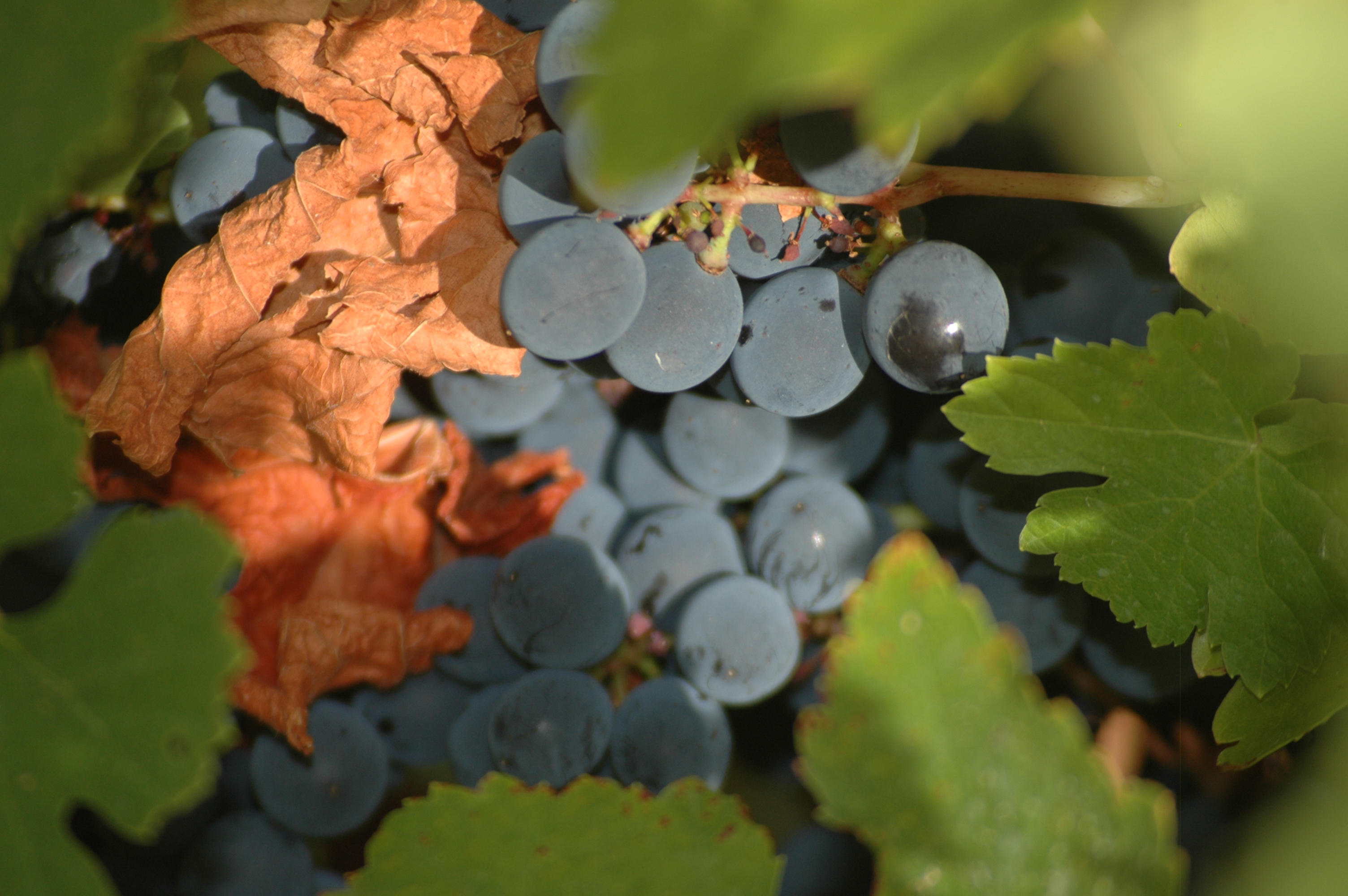 Mencia grapes at harvest