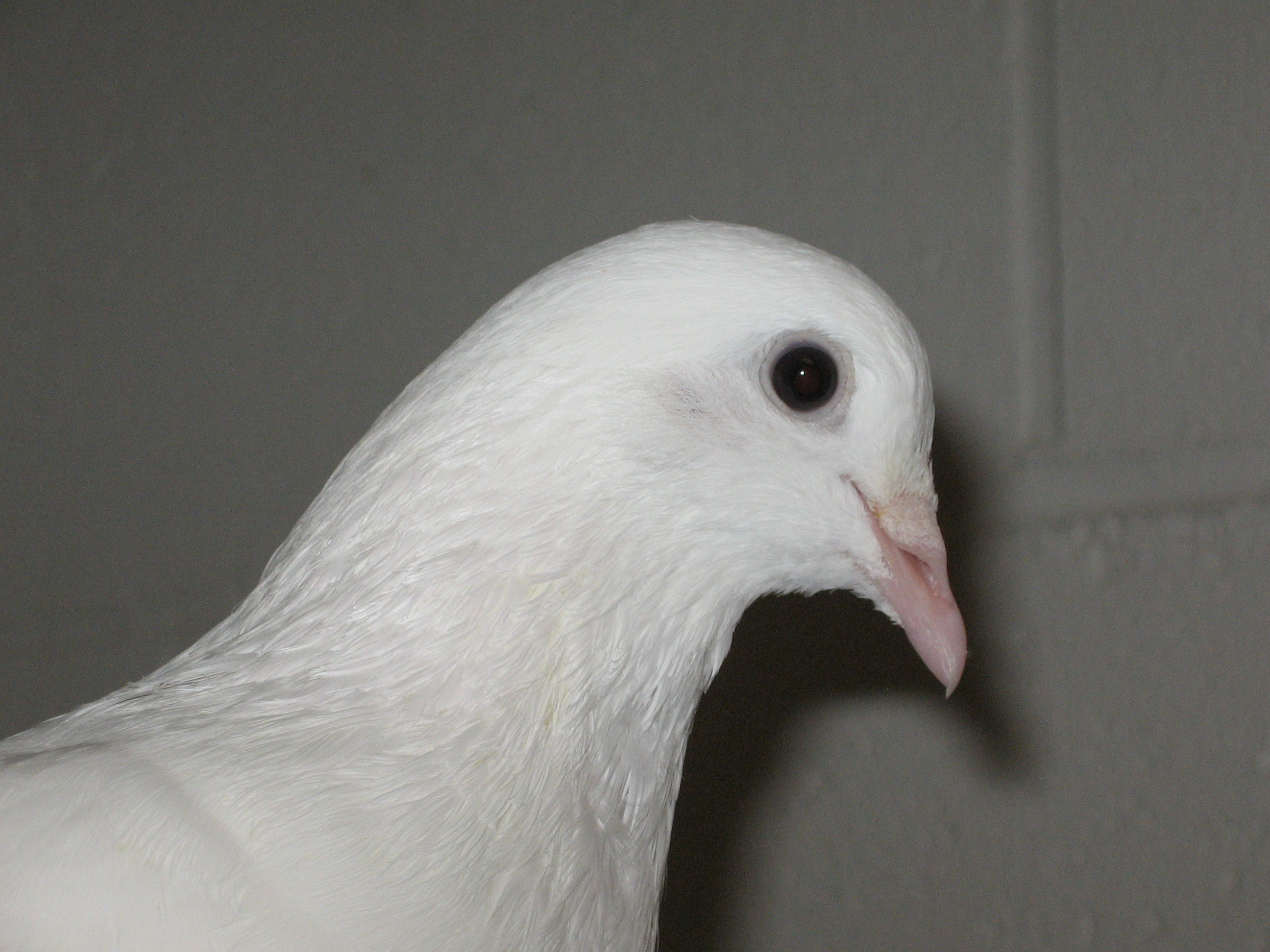 White Pigeon Names