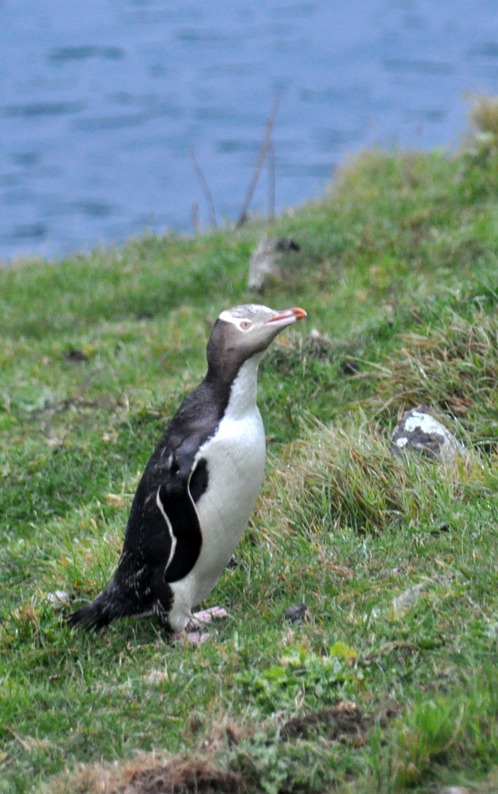 File:Yellow-eyed Penguin Banks Peninsula 2.jpg - Wikimedia Commons