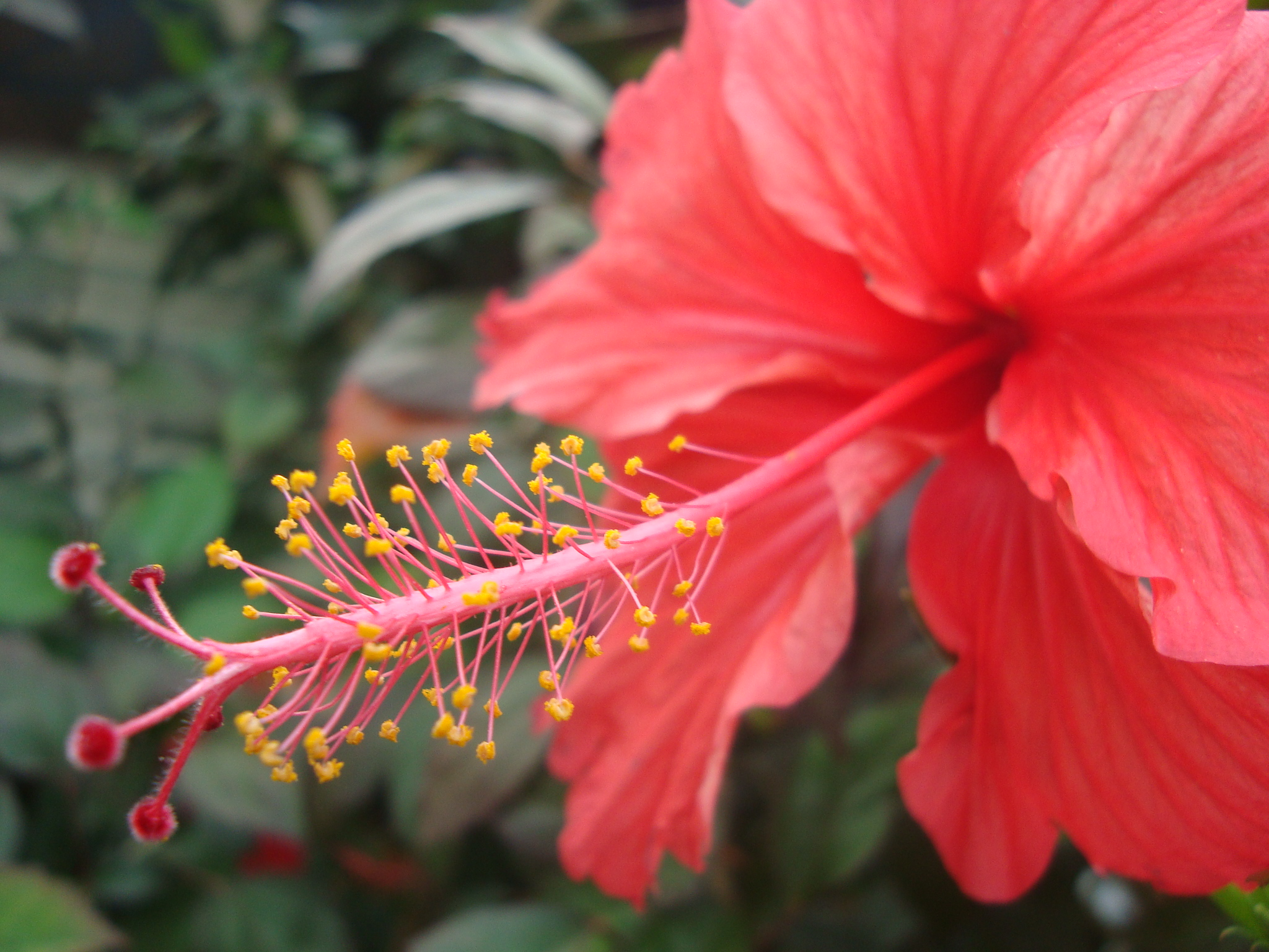 Filehibiscus flowerg wikimedia commons filehibiscus flower izmirmasajfo Gallery