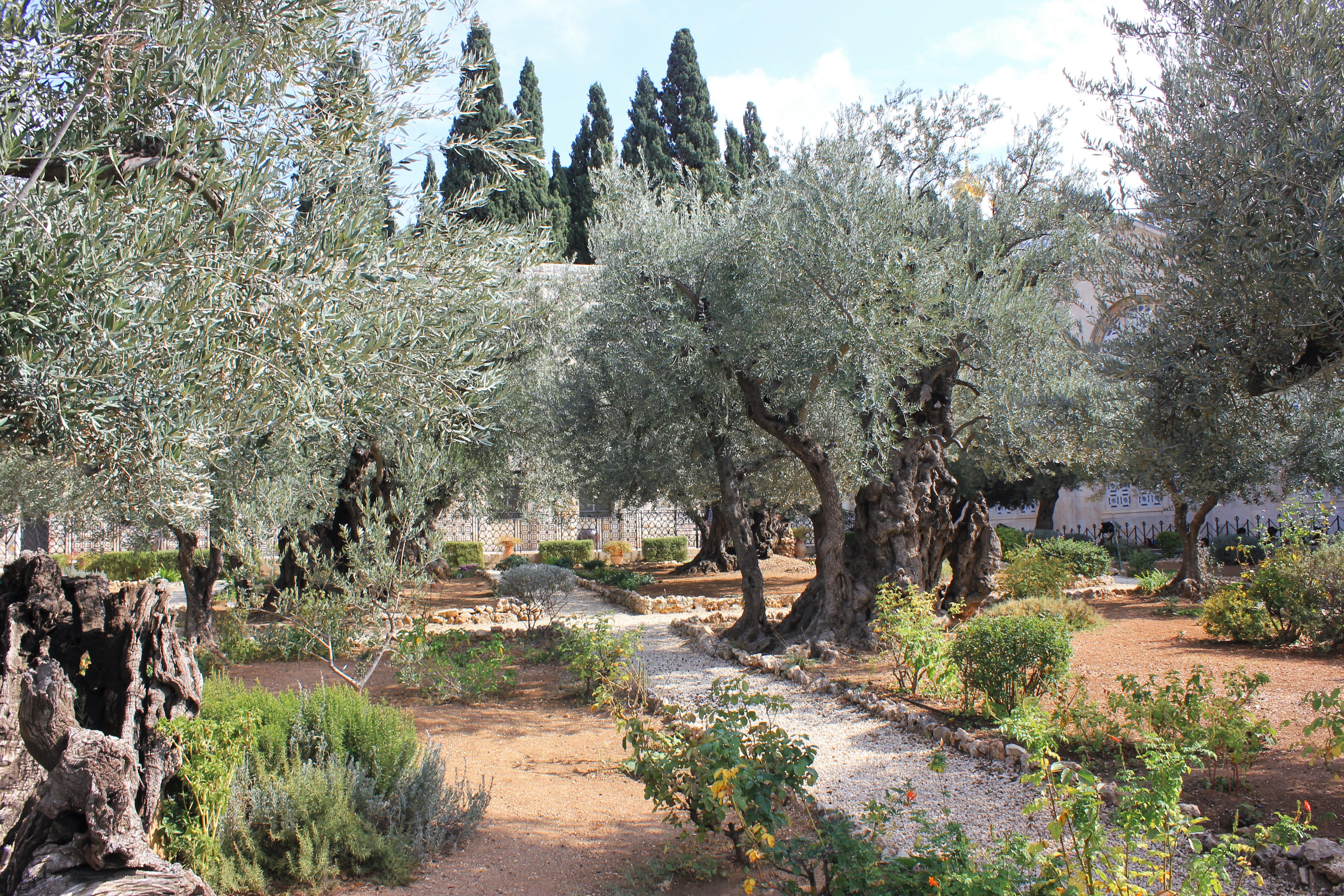 File Old Olive Trees In The Garden Of Gethsemane 07 Jpg