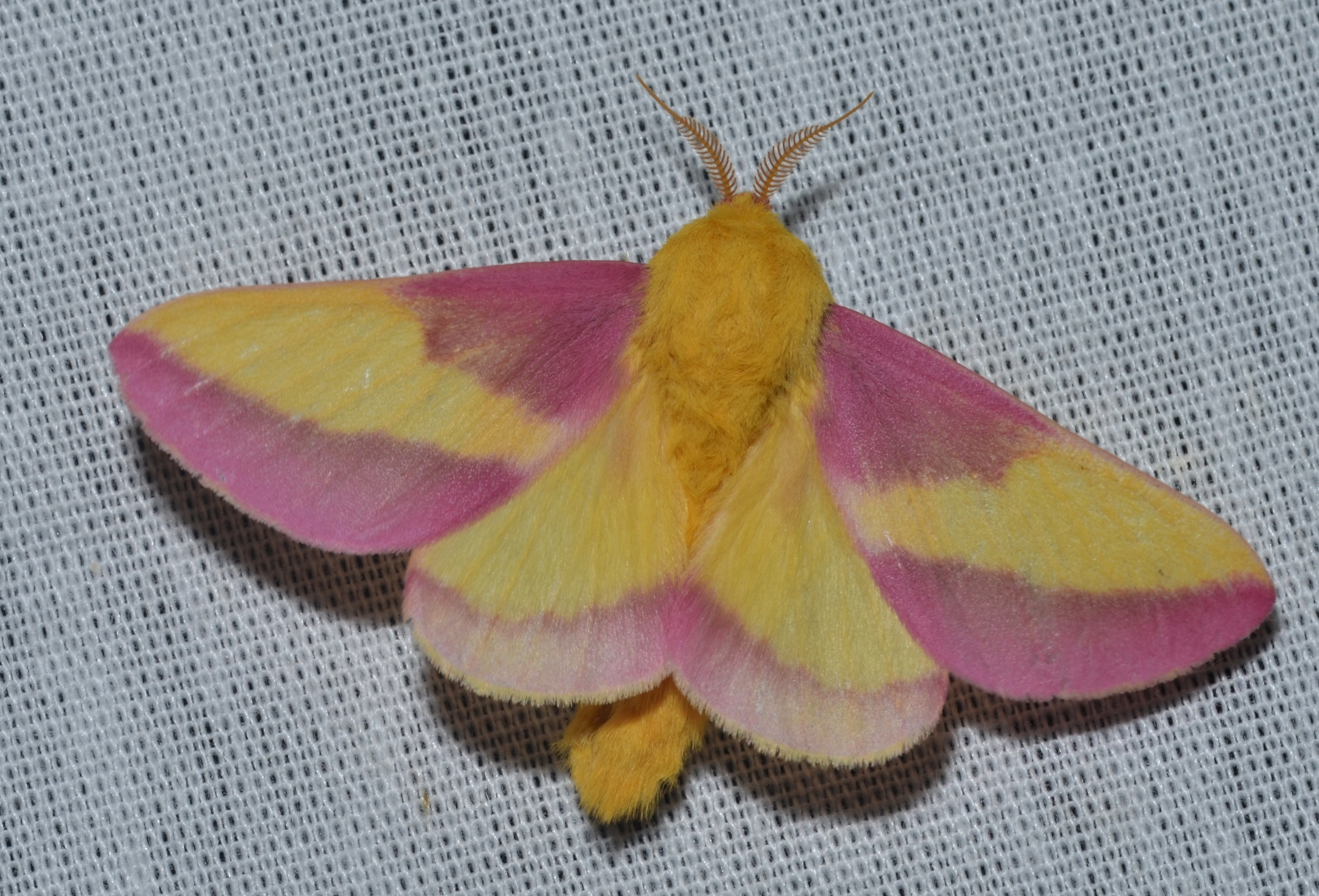 This rosy maple moth has feathery antennae, and it's holding its wings flat.