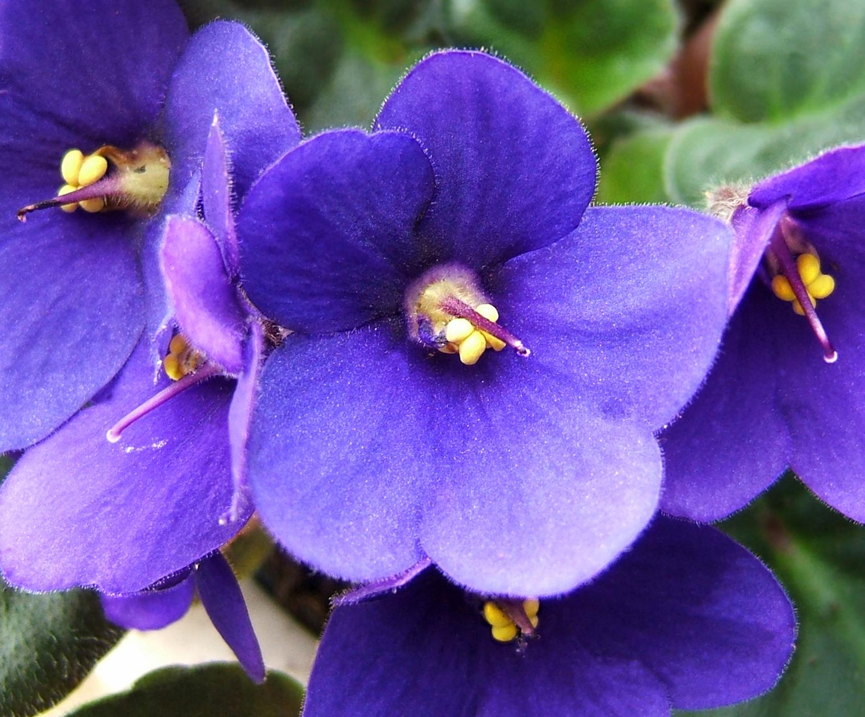 File 2007 04 20saintpaulia wikimedia commons for Violetta africana
