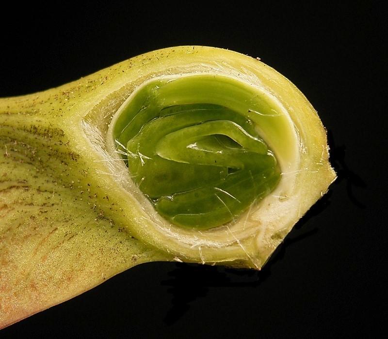 Acer pseudoplatanus Frank Vincentz