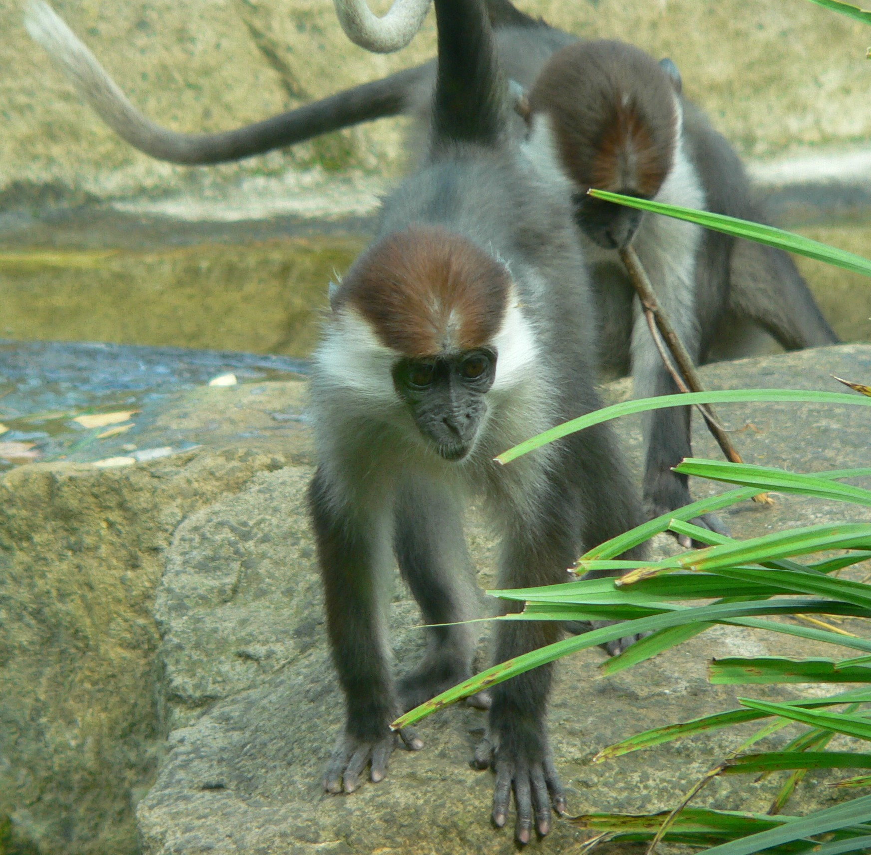 Red capped mangabey sub-adult male