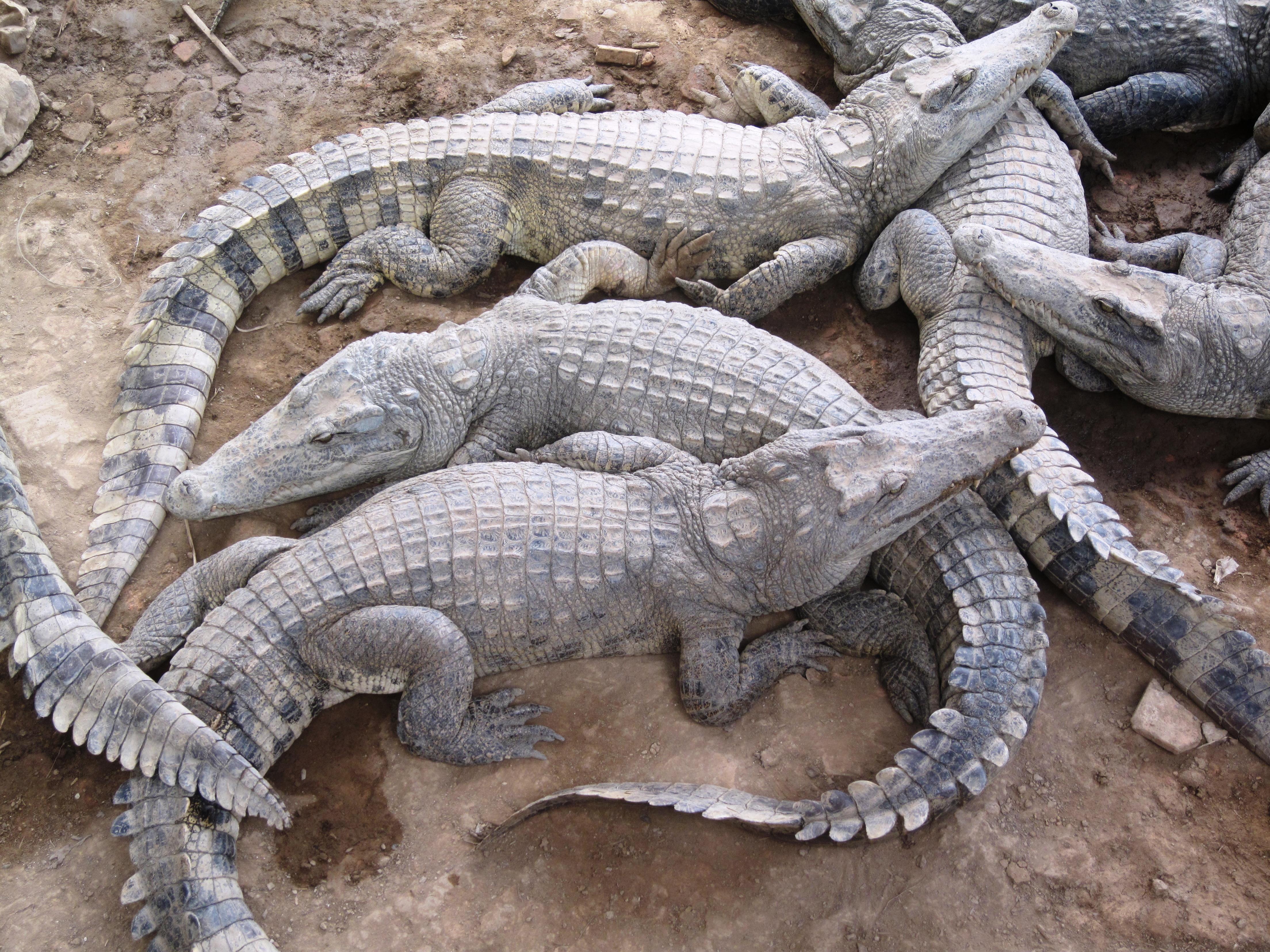 File:Alligators in Cambodia.jpg - Wikimedia Commons