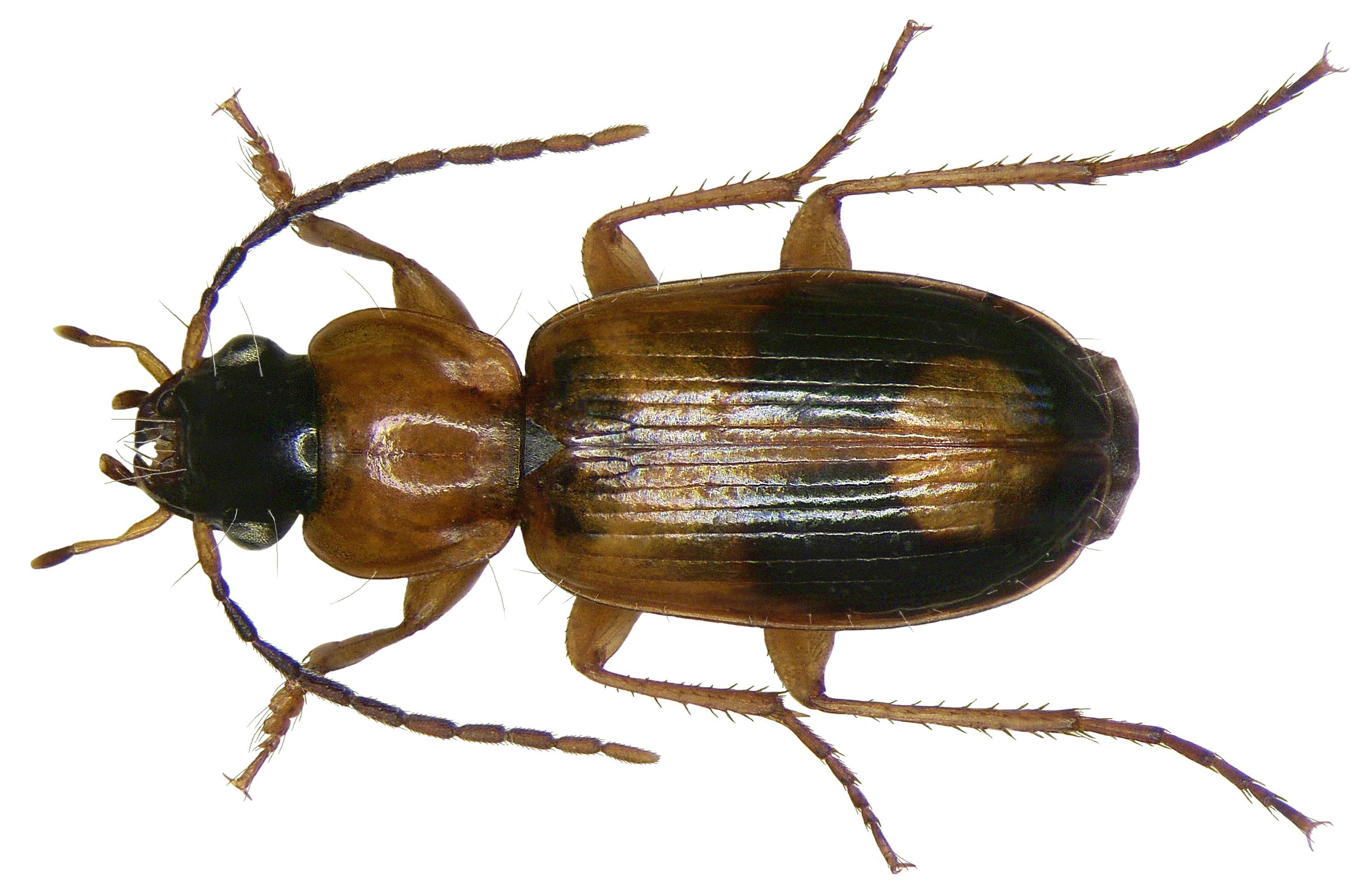 FileBadister Bullatus Schrank 1798 2871830077