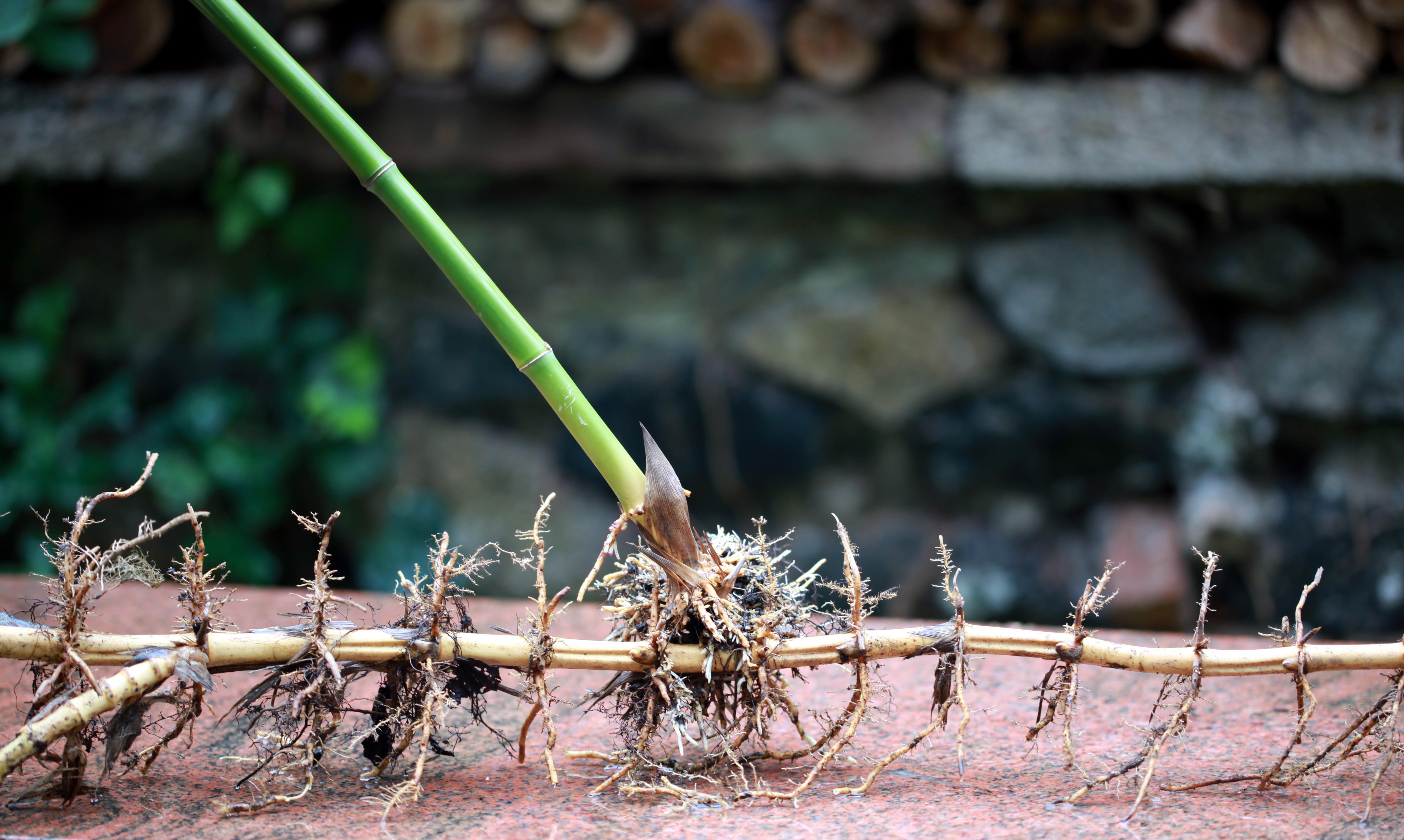 Bambus Rhizome Entfernen : rhizom wikiwand ~ Watch28wear.com Haus und Dekorationen