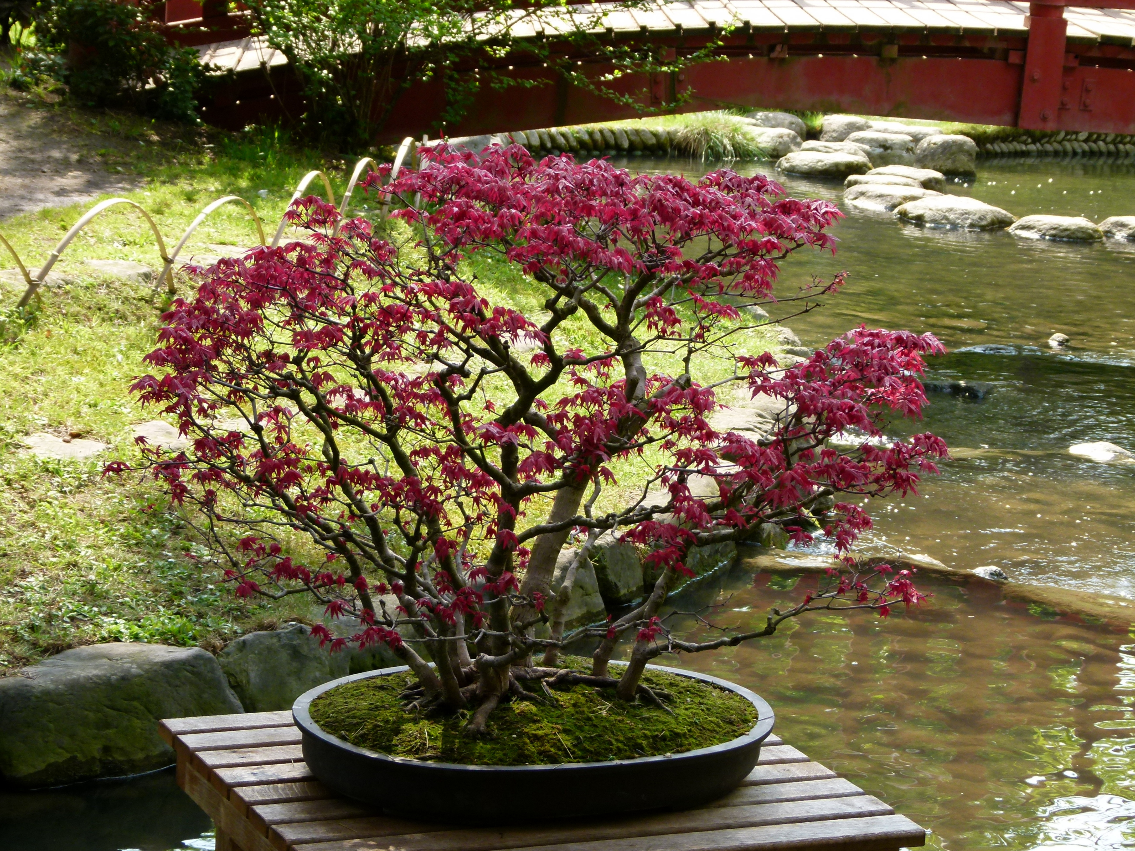 File bonsa dans la pi ce d 39 eau du jardin albert kahn jpg for Jardin albert kahn