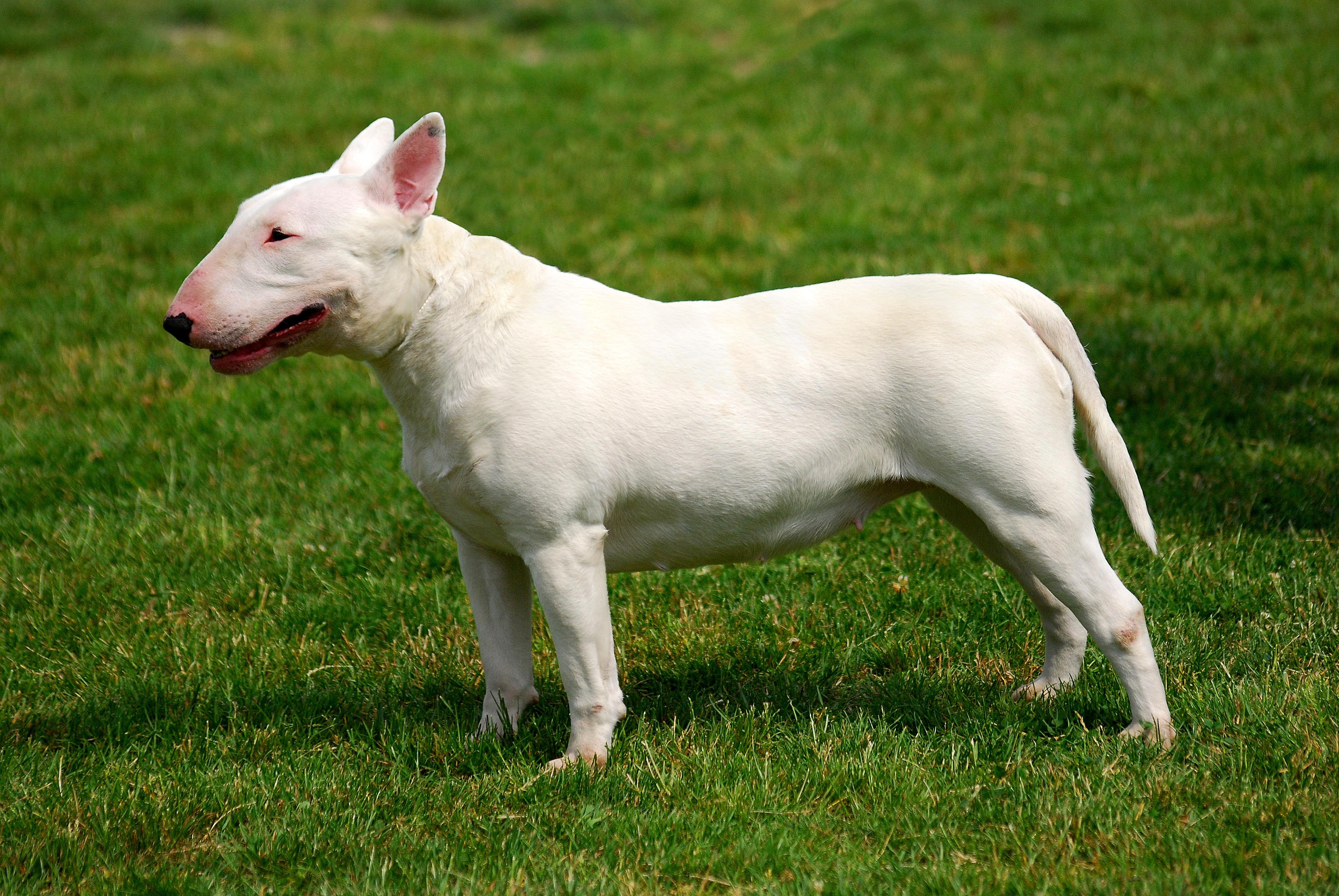 Perros Bull Terrier Ingles Bull Terrier Cara De Bolillo