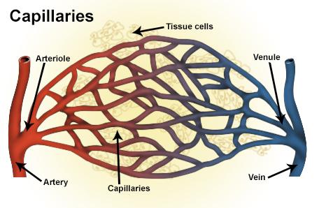 Arteriole Wikipedia