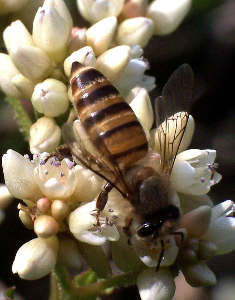 plant pszczoły na penisie)