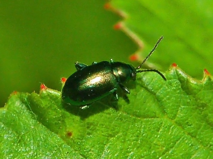 Leaf Beetle Altica oleracea - Wiki...