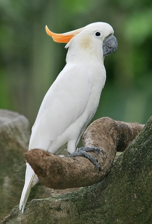 Citron Cockatoo 121
