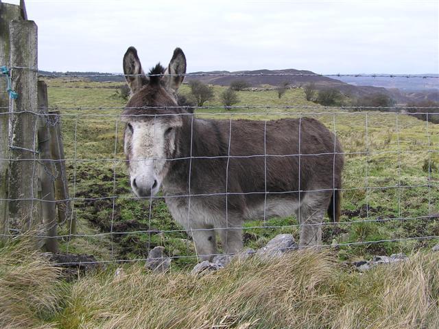 Irish donkey - Wikipedia