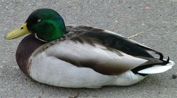 Duck-on-ground.jpg