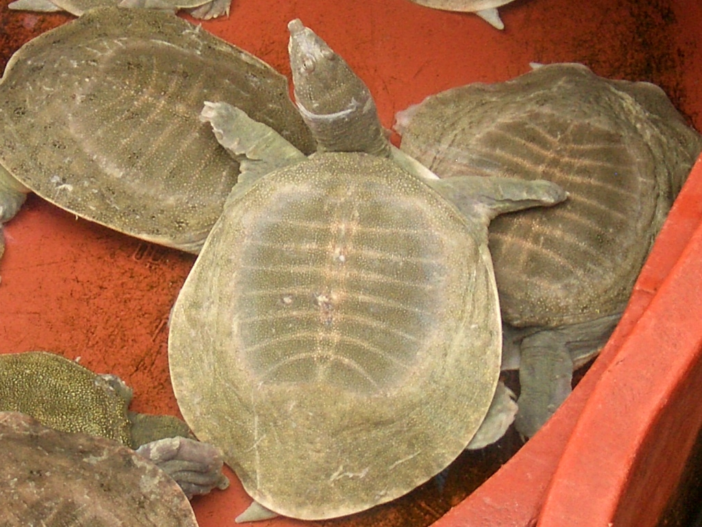 Softshell Turtle in ginseng shop