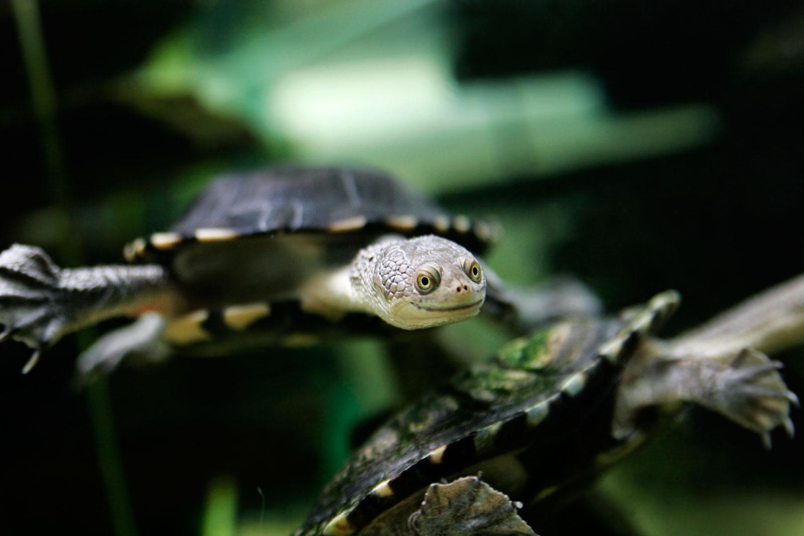 https://upload.wikimedia.org/wikipedia/commons/e/ec/Eastern_long_neck_tortoise_-_chelodina_longicollis.jpg