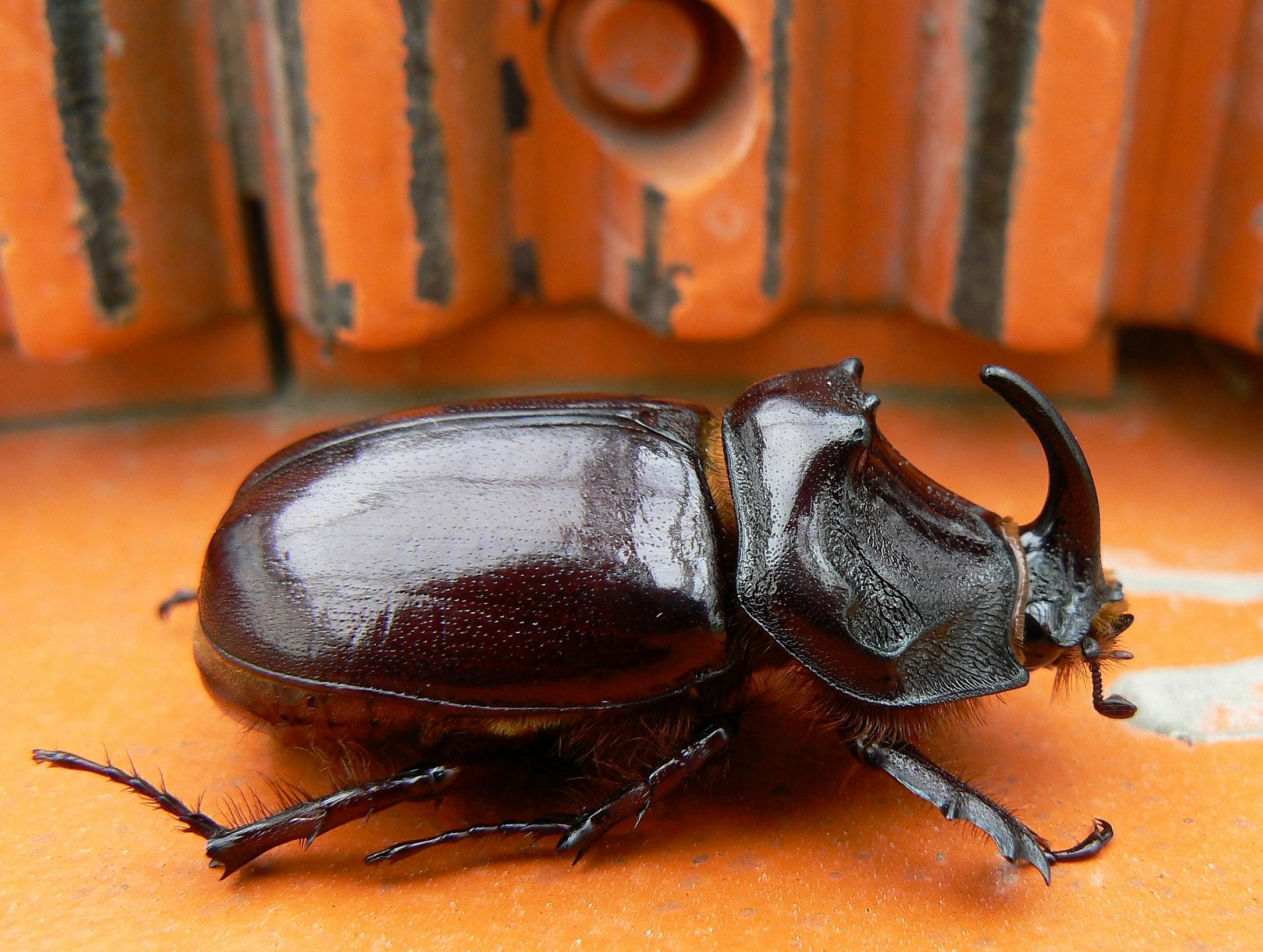single horn beetle Völklingen