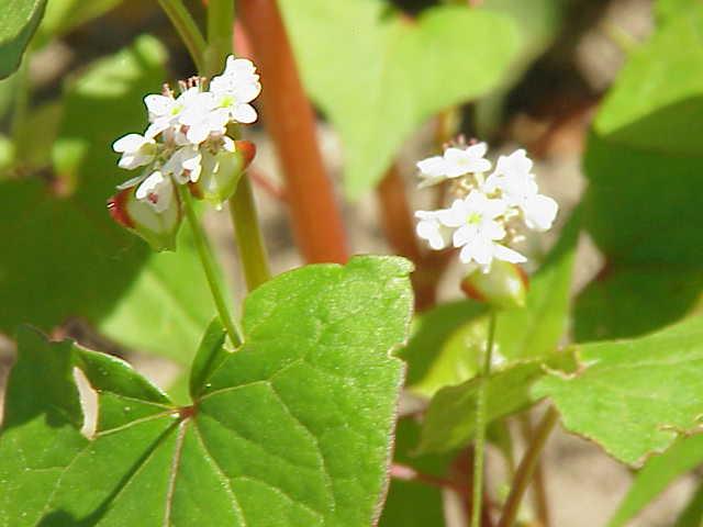 Fagopyrum esculentum0
