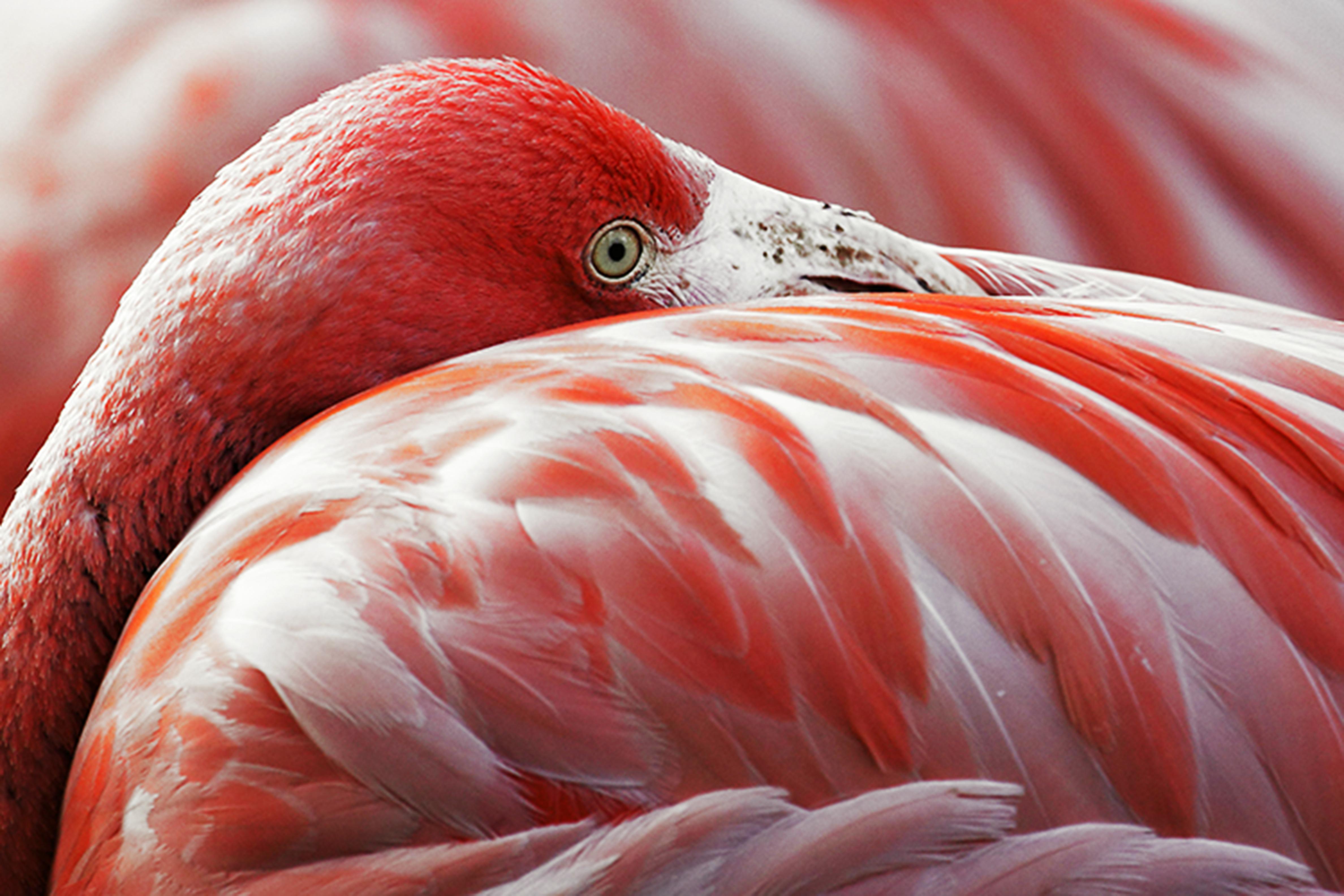 False coloring in animals - File Flamingo Rubro Phoenicopterus Ruber Ruber Jpg